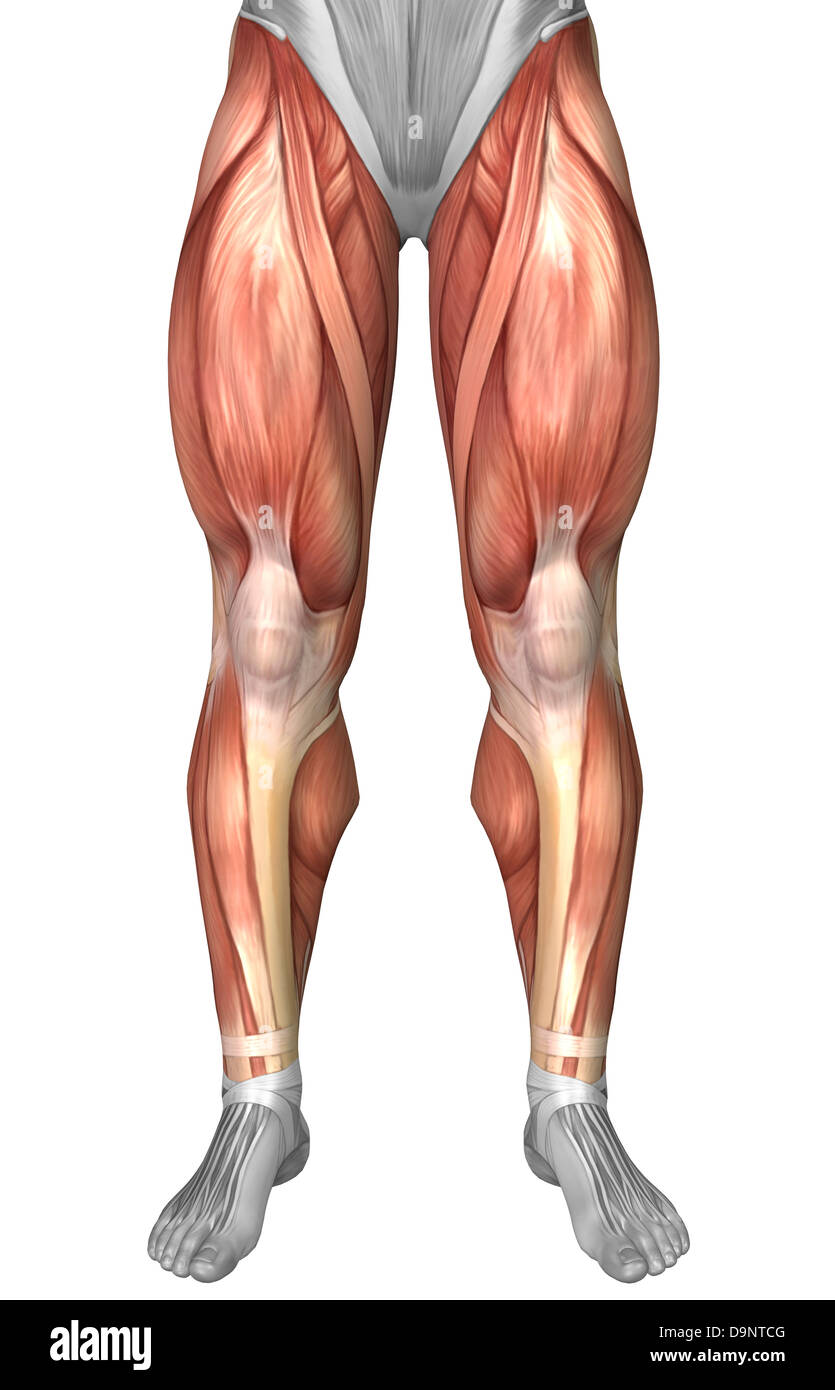 Diagram illustrating muscle groups on front of human legs stock diagram illustrating muscle groups on front of human legs pooptronica Images