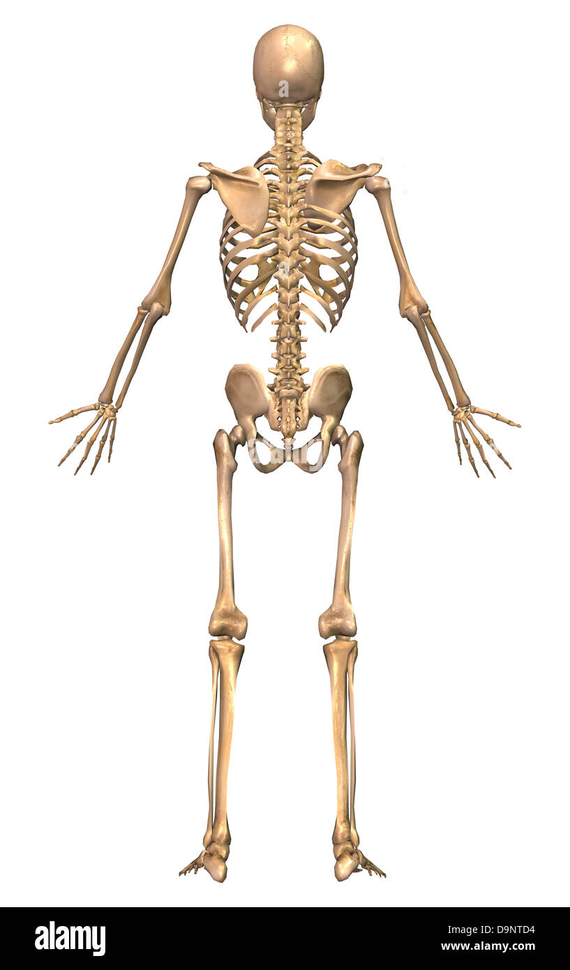 human skeletal system, back view stock photo, royalty free image, Skeleton