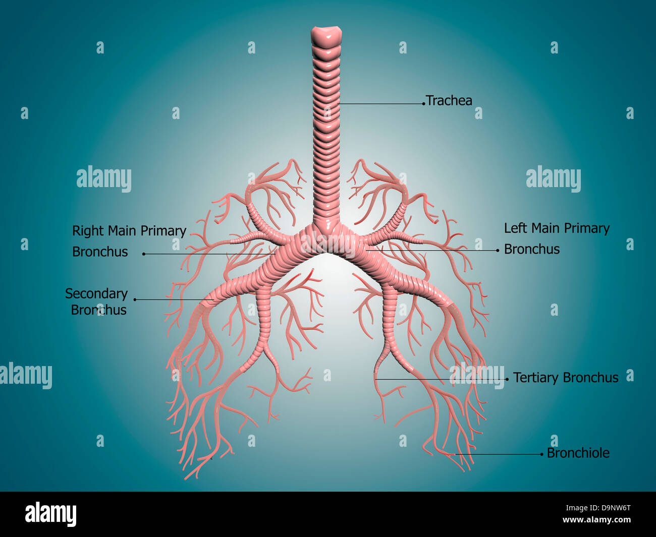 Human lungs and bronchi human organ structure medical sign stock medical sign anatomy of the bronchus and bronchial tubes stock photo ccuart Gallery