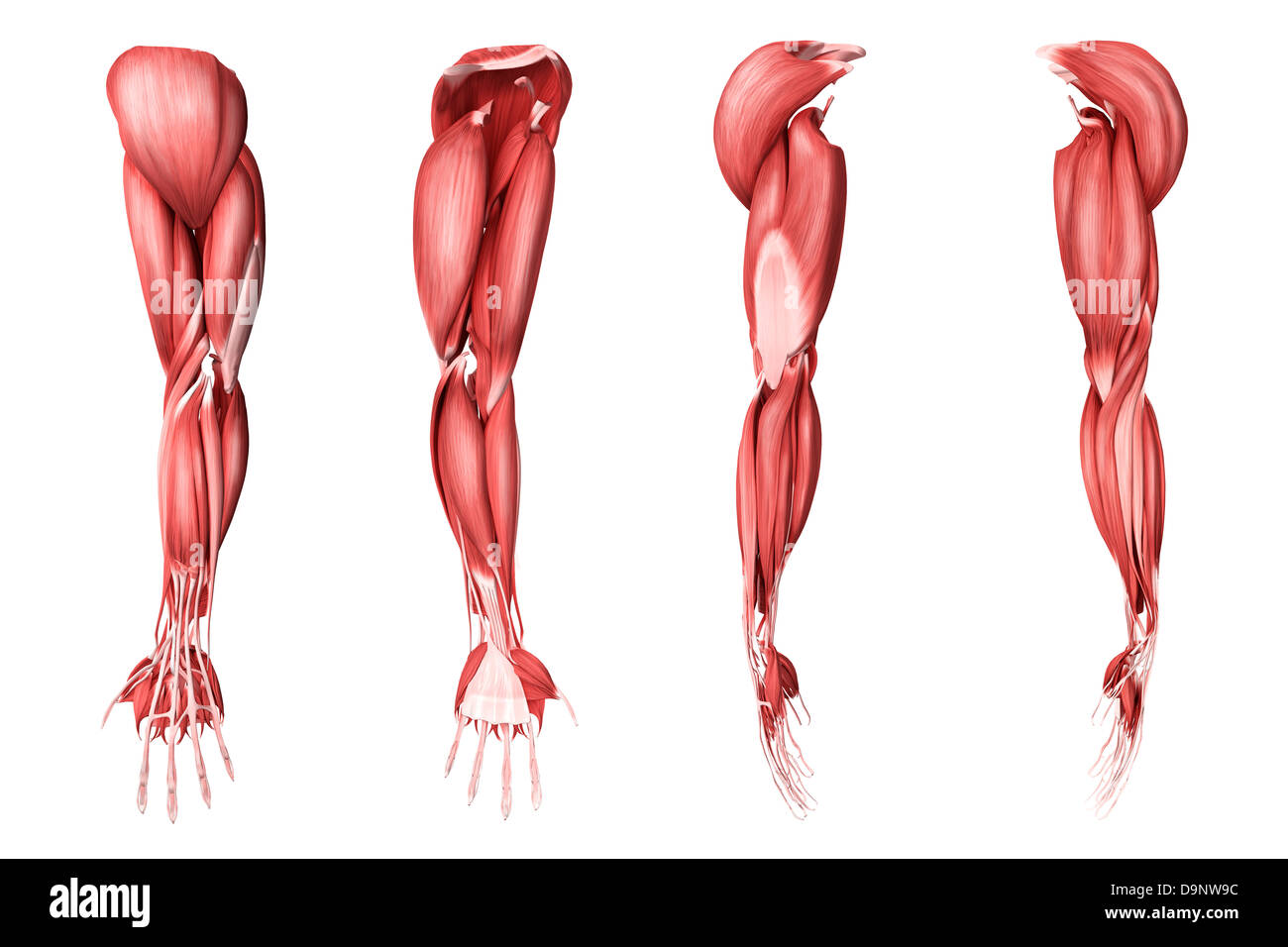 Anatomy of the human arm