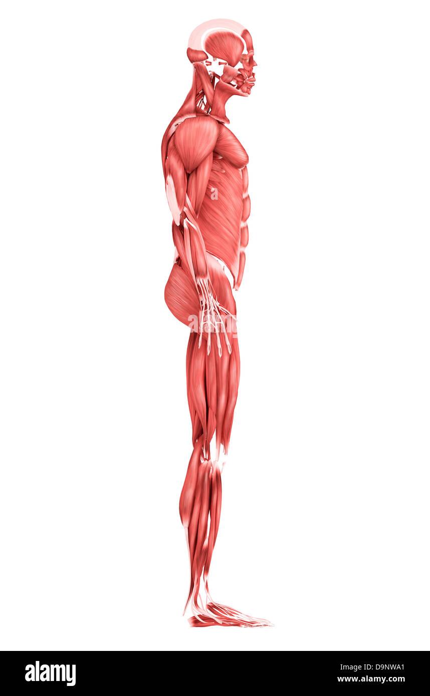 Human Anatomy Side View 71941 Enews