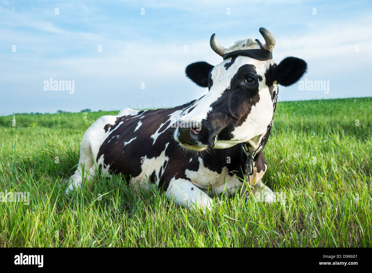 funny black and white colour dairy cow lying in a green pasture