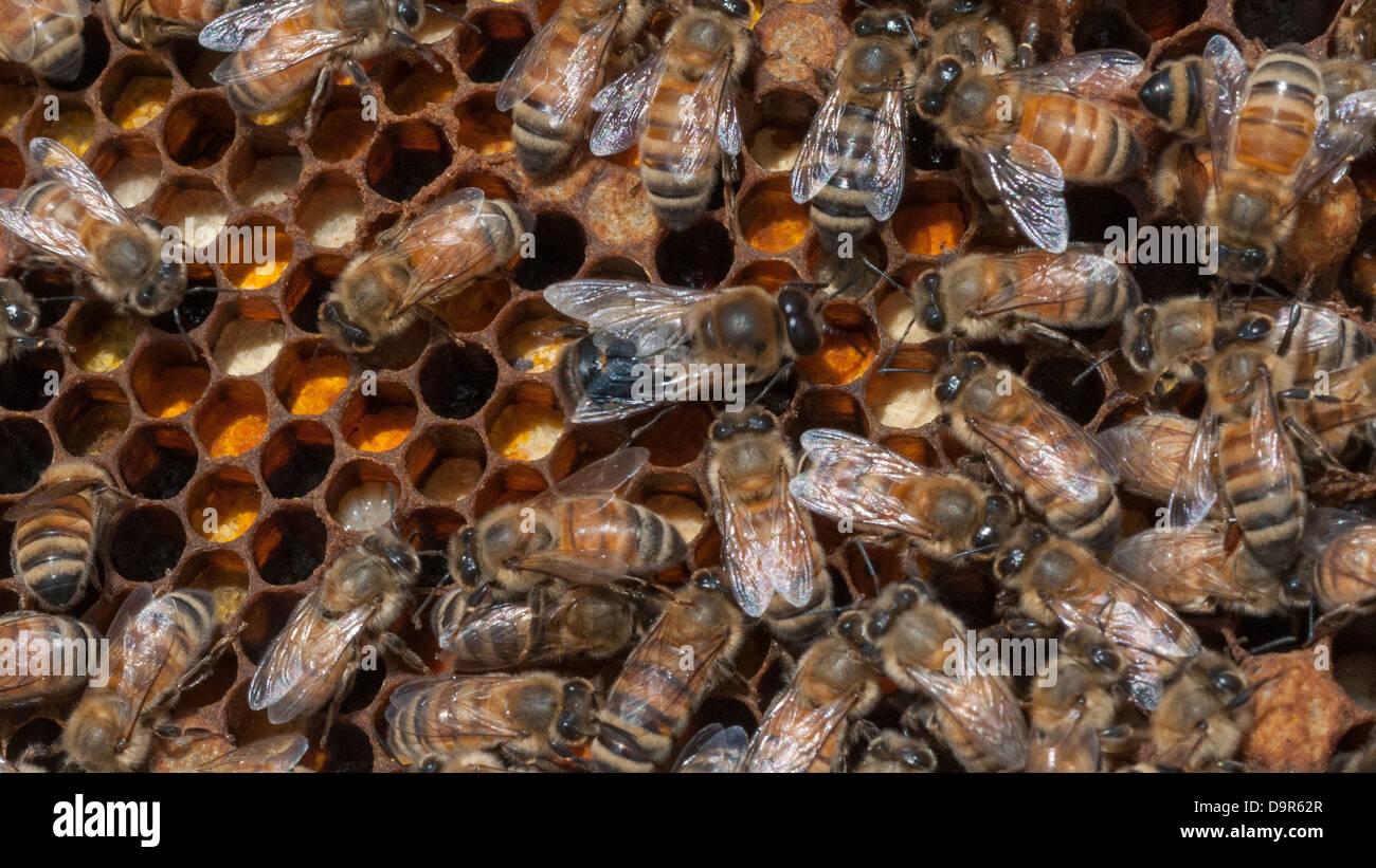 Italian Honey Bee A queen Italian honey ...