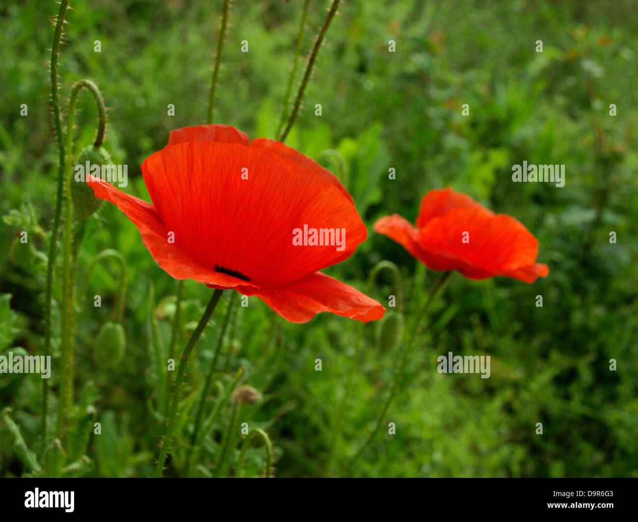 Poppy flower flowering plant symbol of sleep peace and death poppy flower flowering plant symbol of sleep peace and death papaver rhoeas corn poppy poppies buycottarizona