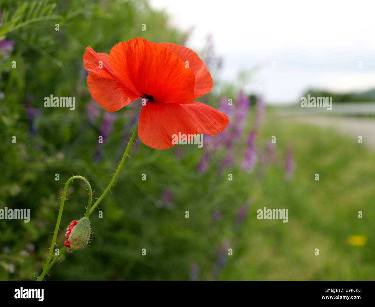 Poppy flower flowering plant symbol of sleep peace and death poppy flower flowering plant symbol of sleep peace and death papaver rhoeas corn poppy next to road buycottarizona