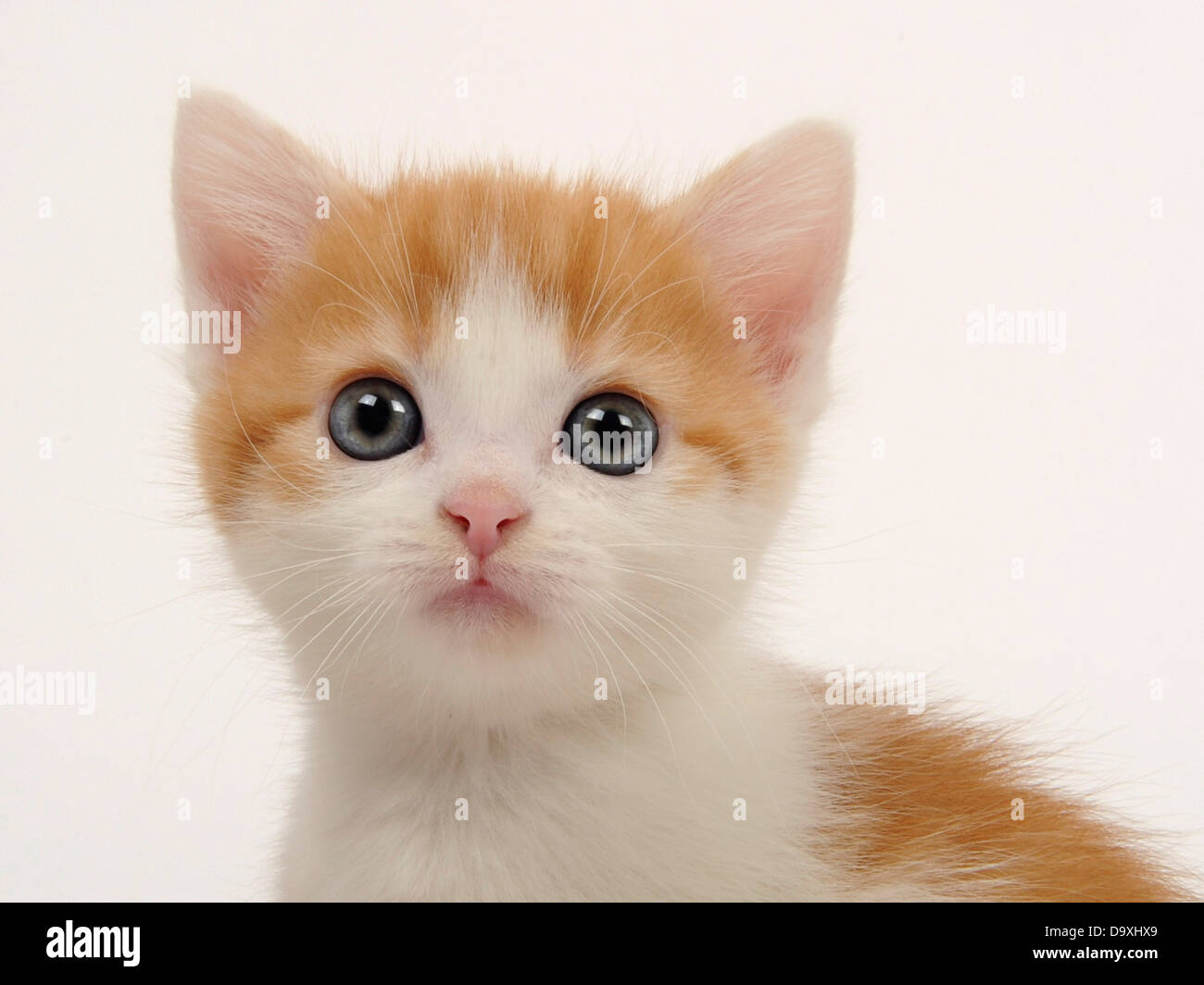 Ginger and White Kitten 2 weeks old Stock Royalty Free