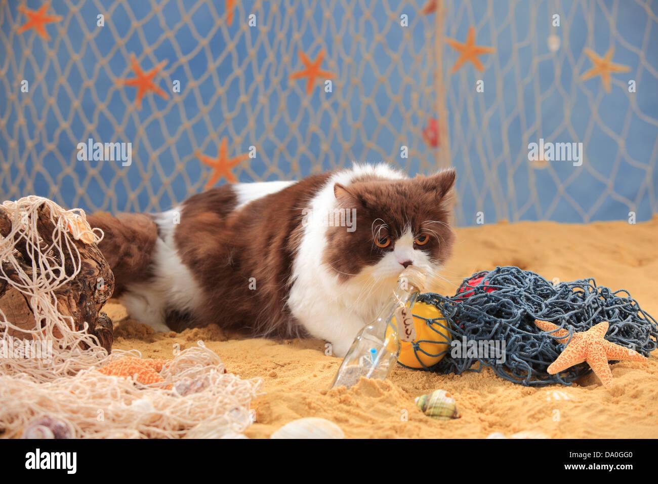 British Longhair Cat, tomcat, chocolate-white / Highlander Stock ...