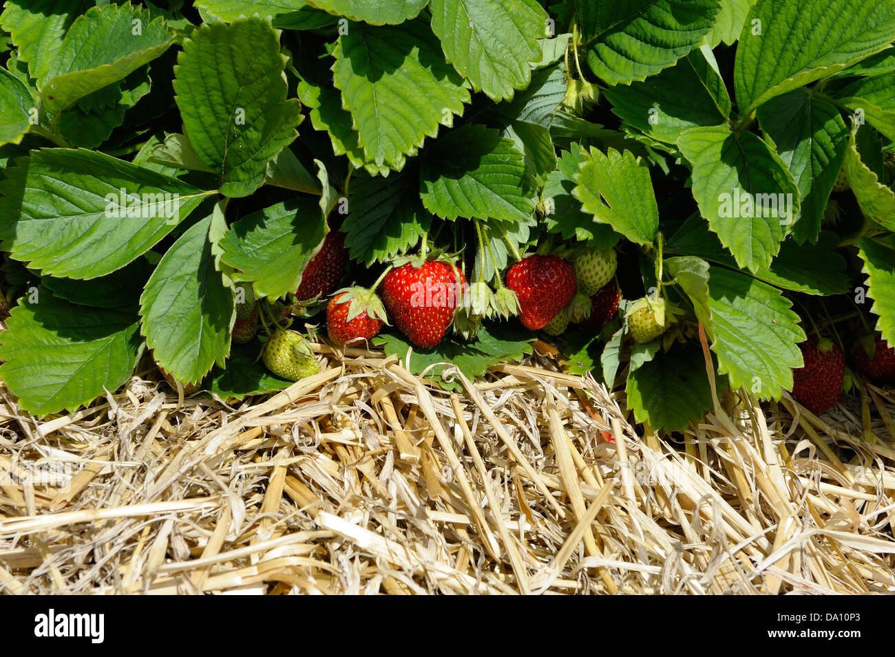 Fresh new strawberry plants being cultivated on a bed of straw ...