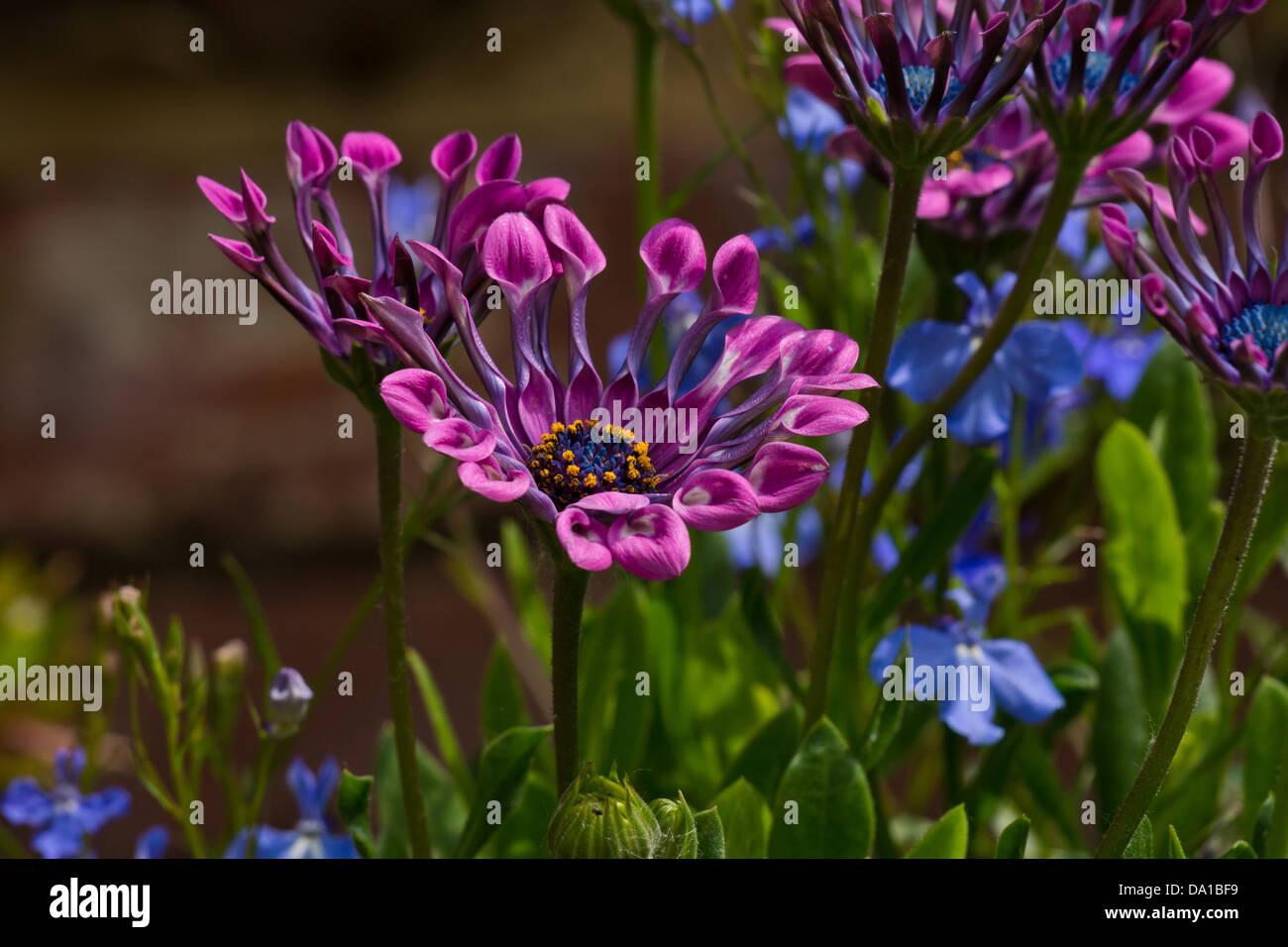African Daisy Osteospermum Lavender Bliss Garden Flower Stock