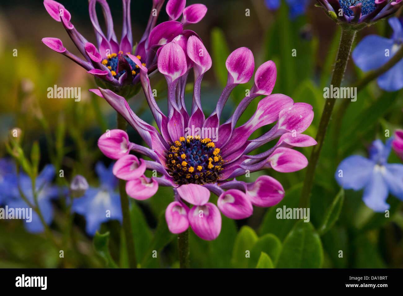 African Daisy Osteospermum Lavender Bliss Garden Flower