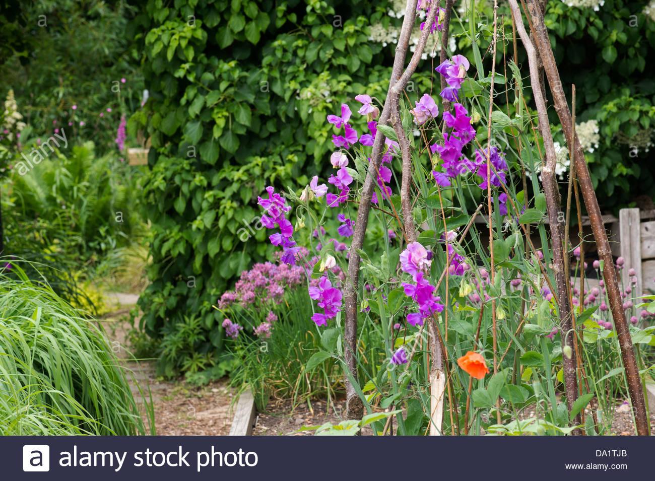 lathyrus latifolius. perennial pea or everlasting sweet pea, Natural flower