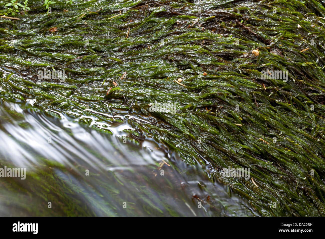 Water Moss 30