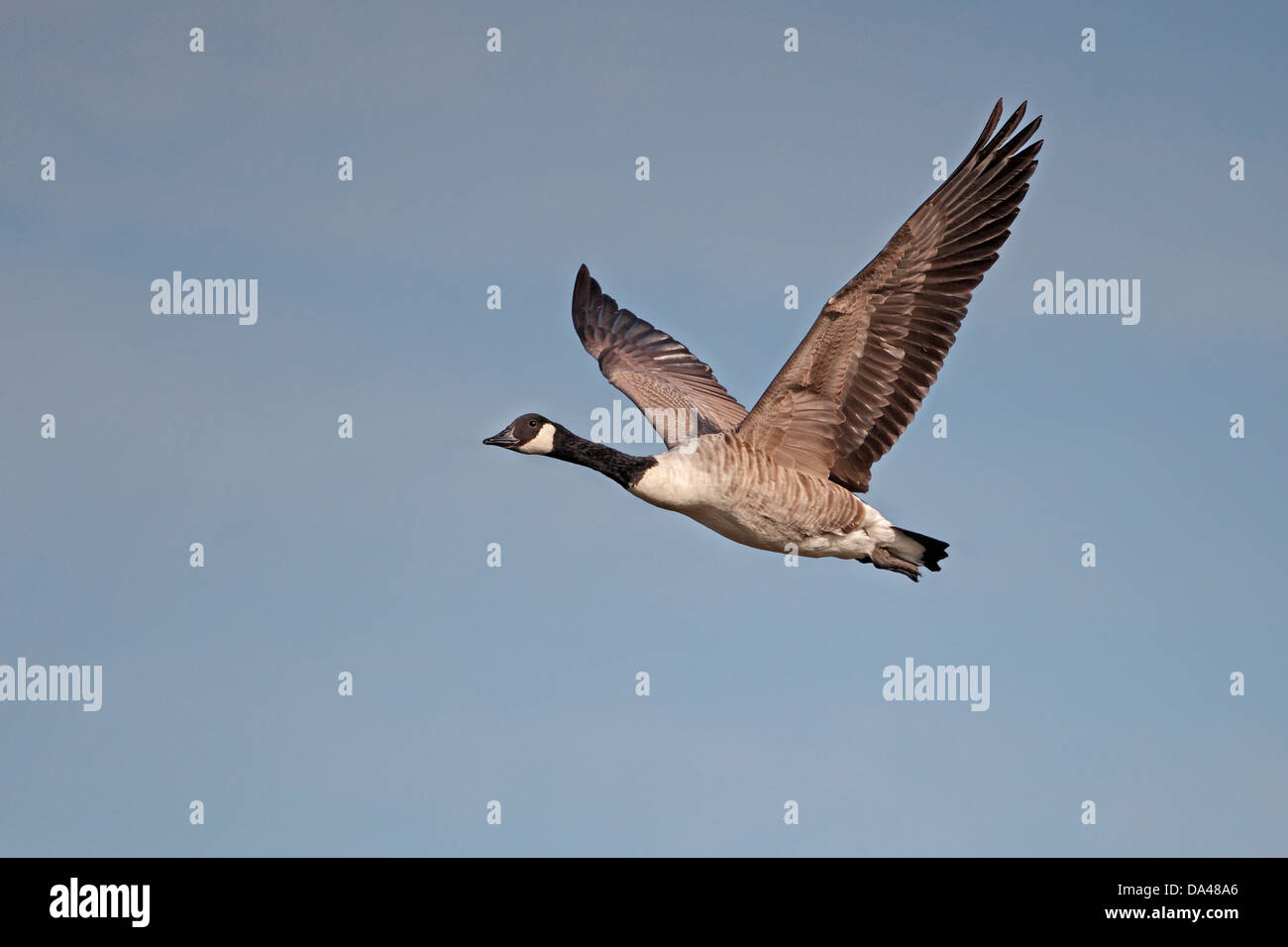 canada goose branta canadensis in flight dee estuary wirral uk stock photo royalty free. Black Bedroom Furniture Sets. Home Design Ideas