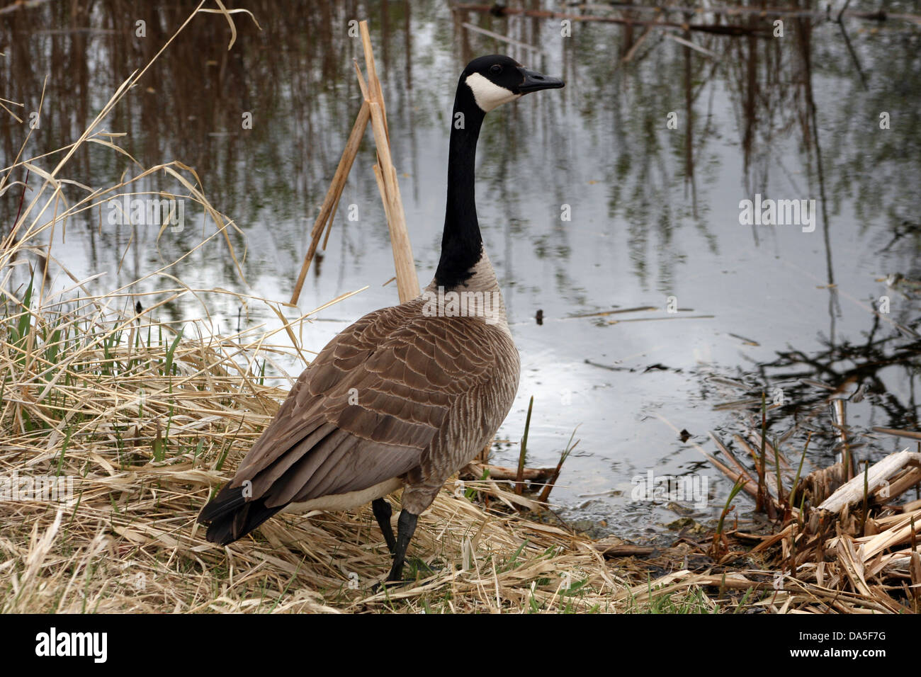 A Canada Goose Standing On The Shore Of A Lake In Spring In ...