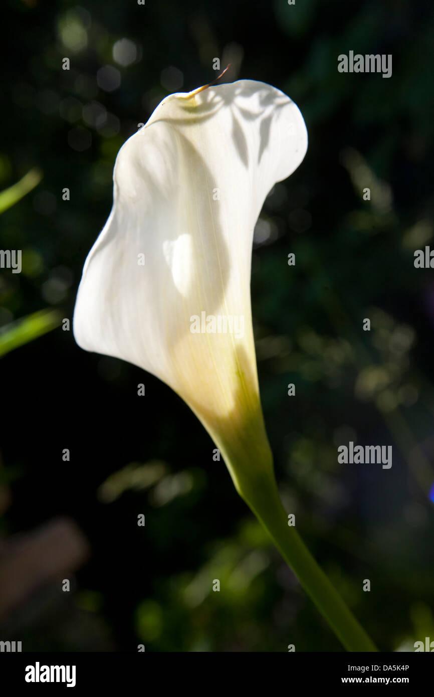 stock photo white calla lily flower growing in an irish garden