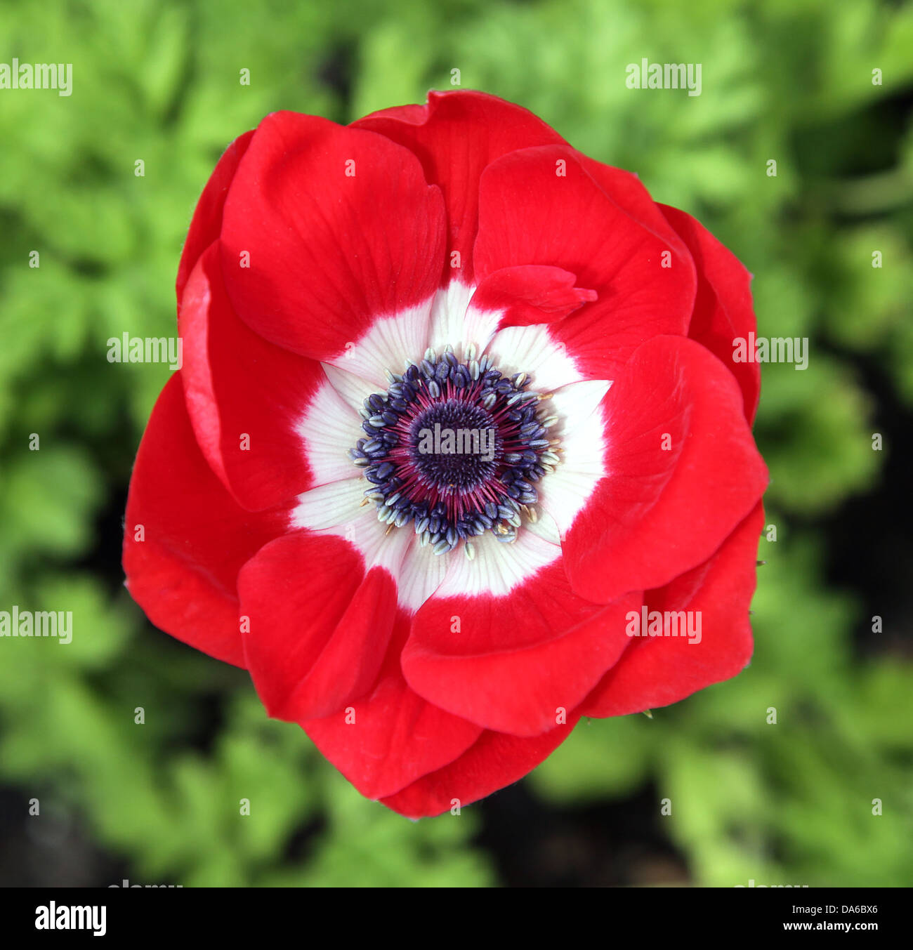 red poppy is an angiosperm or flowering plant of the family stock