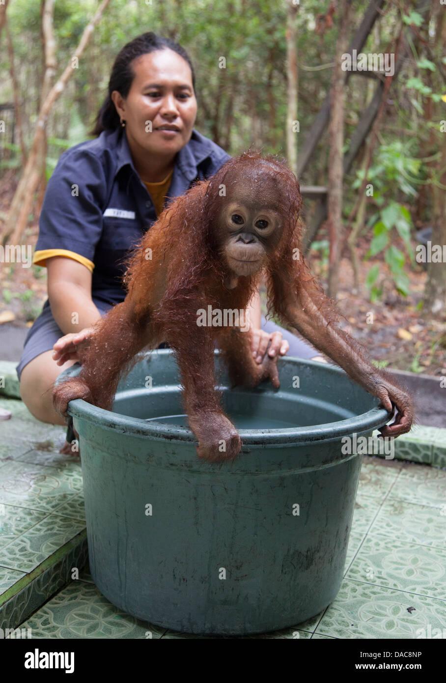 Baby orphan orangutan (Pongo pygmaeus) being bathed by ...