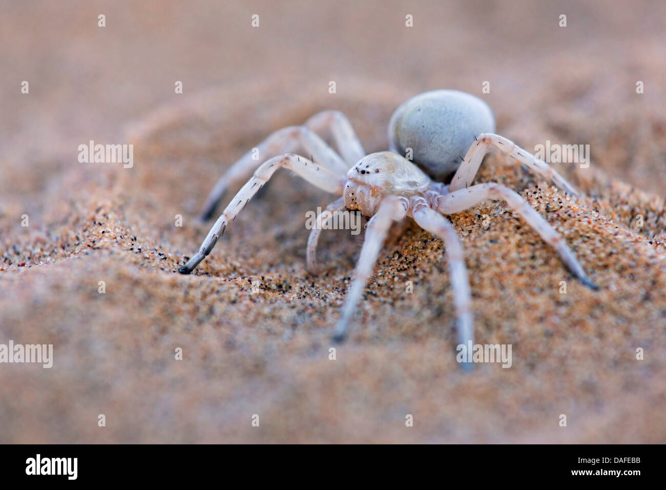 White Lady Spider, Dancing White Lady Spider (Leucorchestris Stock ...