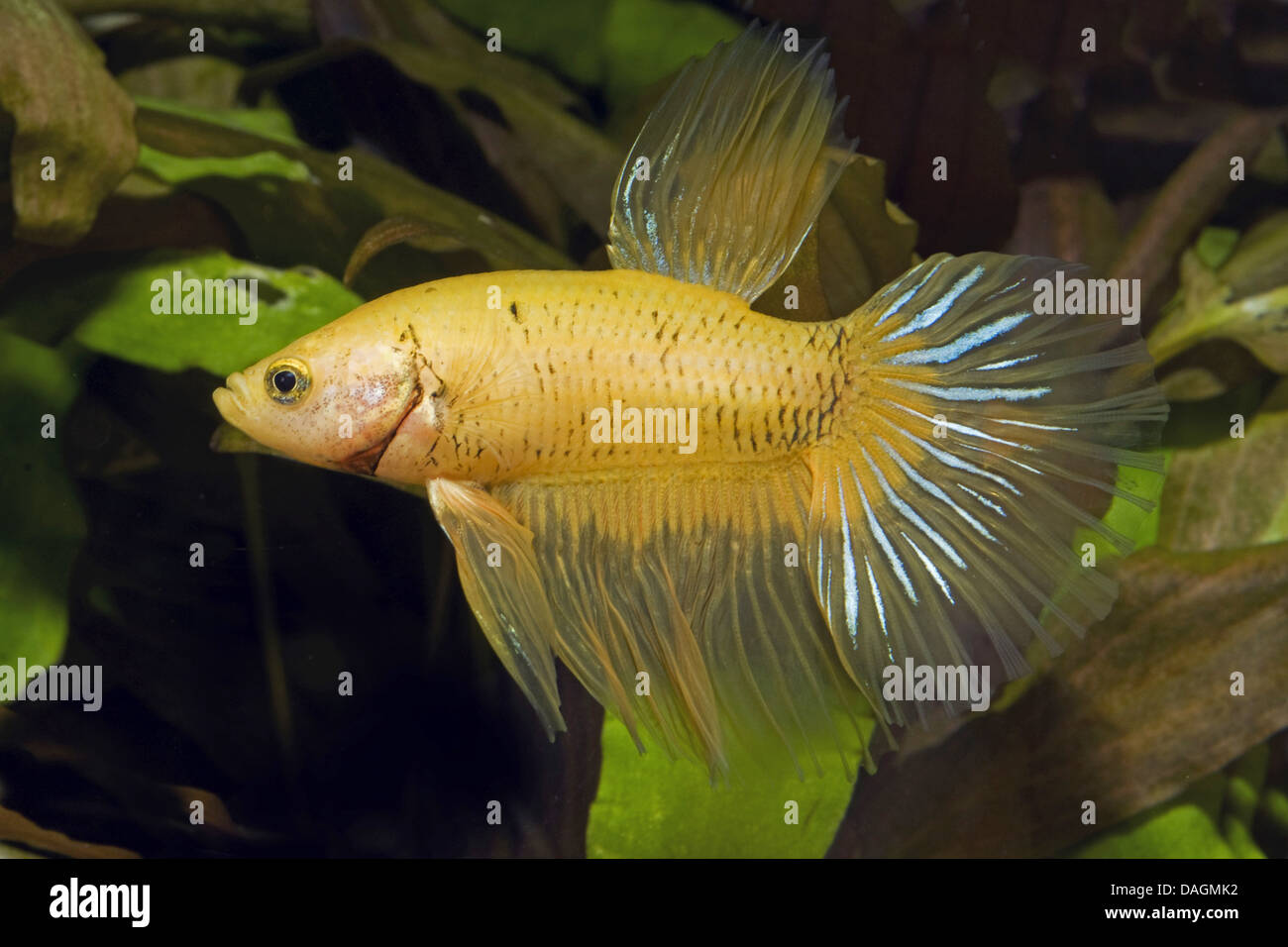 Black and yellow freshwater aquarium fish - Siamese Fighting Fish Siamese Fighter Betta Splendens Butterfly Male Butterfly Yellow