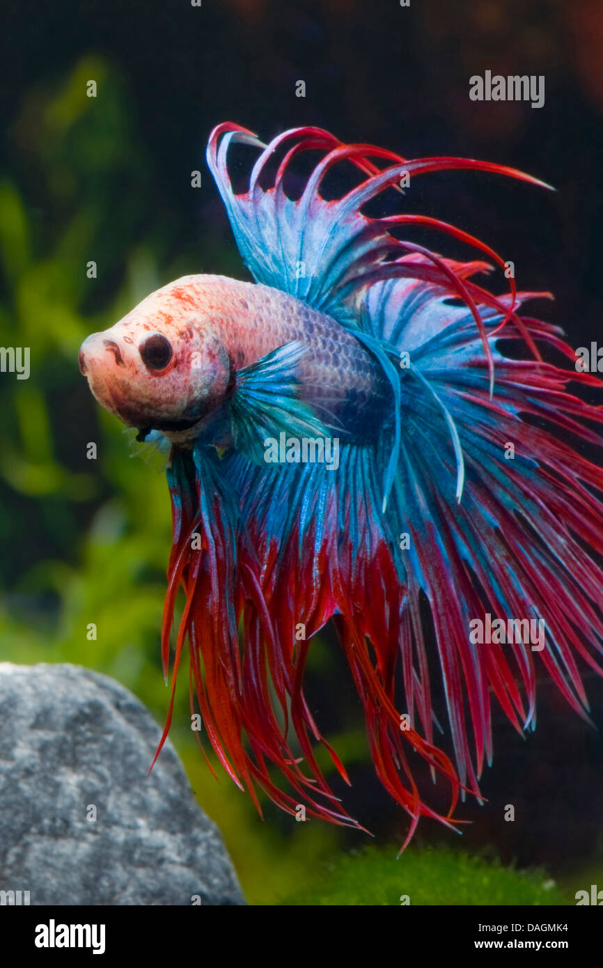 Siamese fighting fish siamese fighter betta splendens for Crowntail betta fish