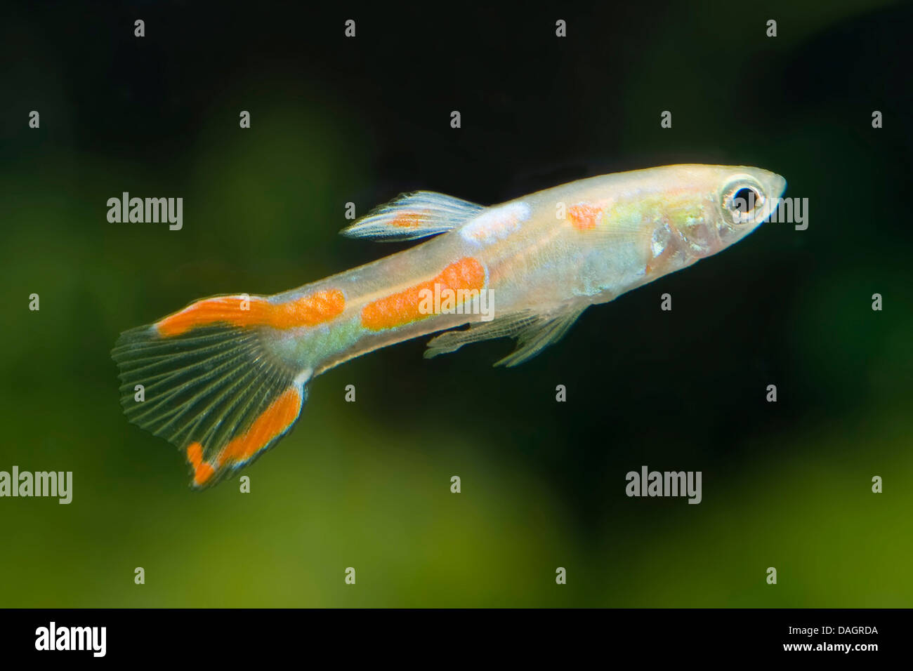 Endler 39 s guppy endler 39 s livebearer poecilia wingei for Endler guppy