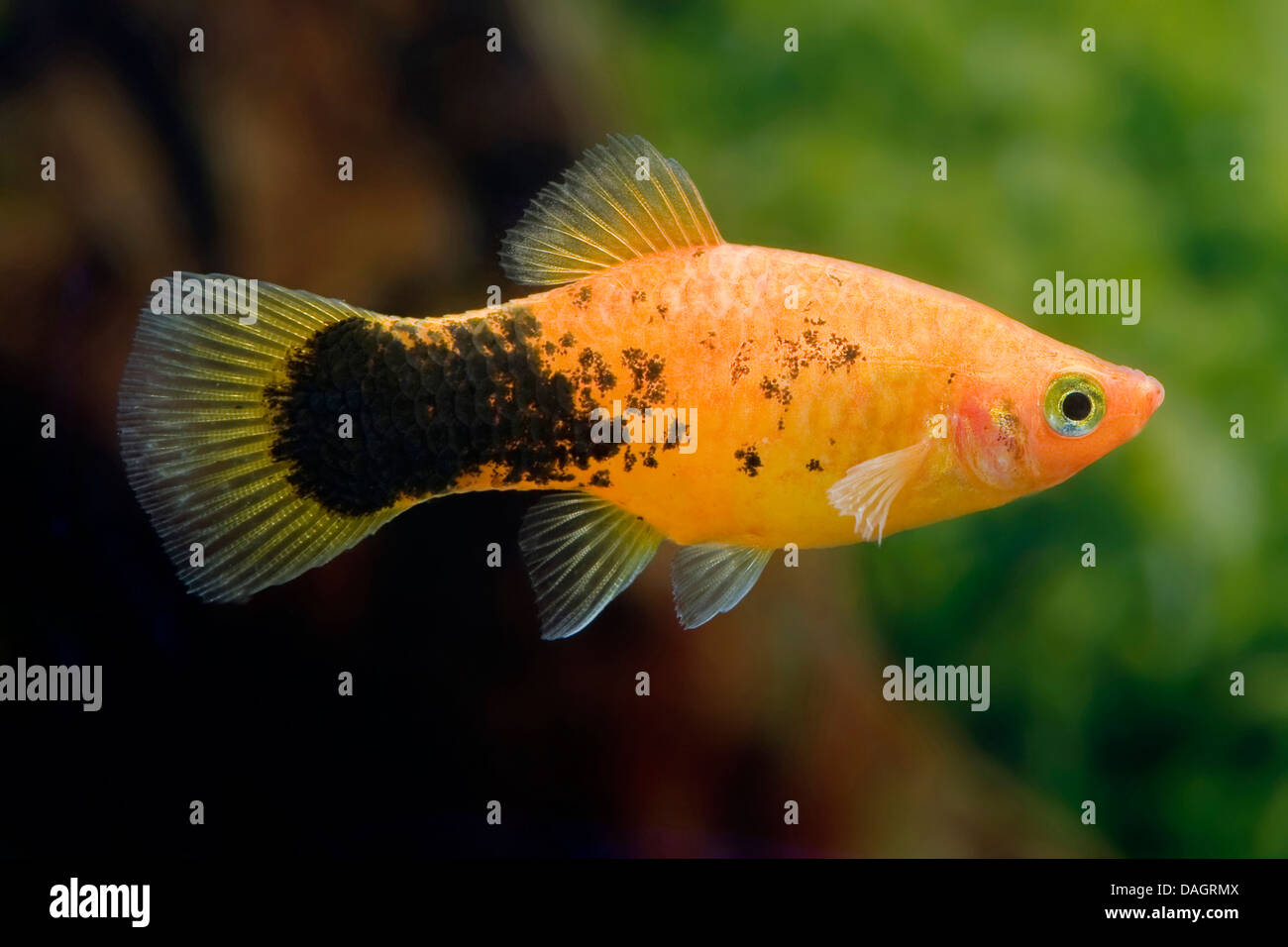 Southern platyfish xiphophorus maculatus breed pepper for Platy fish breeding