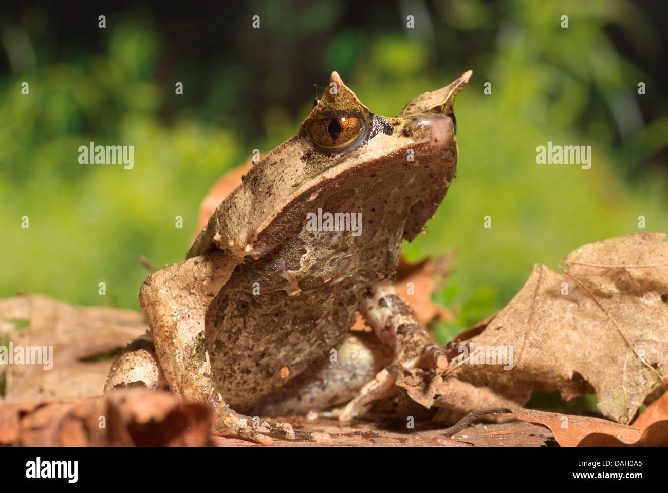 Asian horned frog