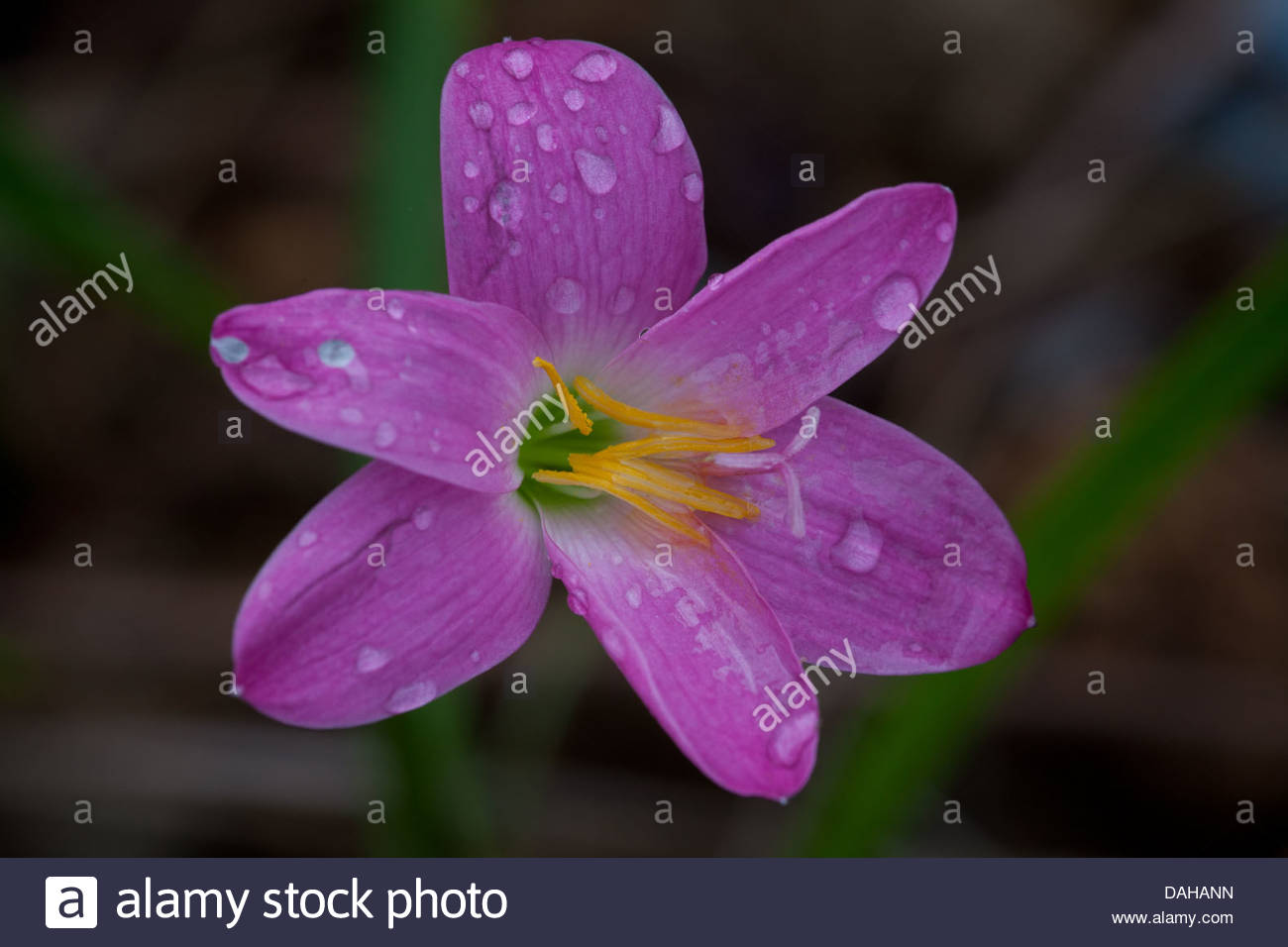 Purple lily flowers in la mina in cocle province republic of panama purple lily flowers in la mina in cocle province republic of panama izmirmasajfo Gallery