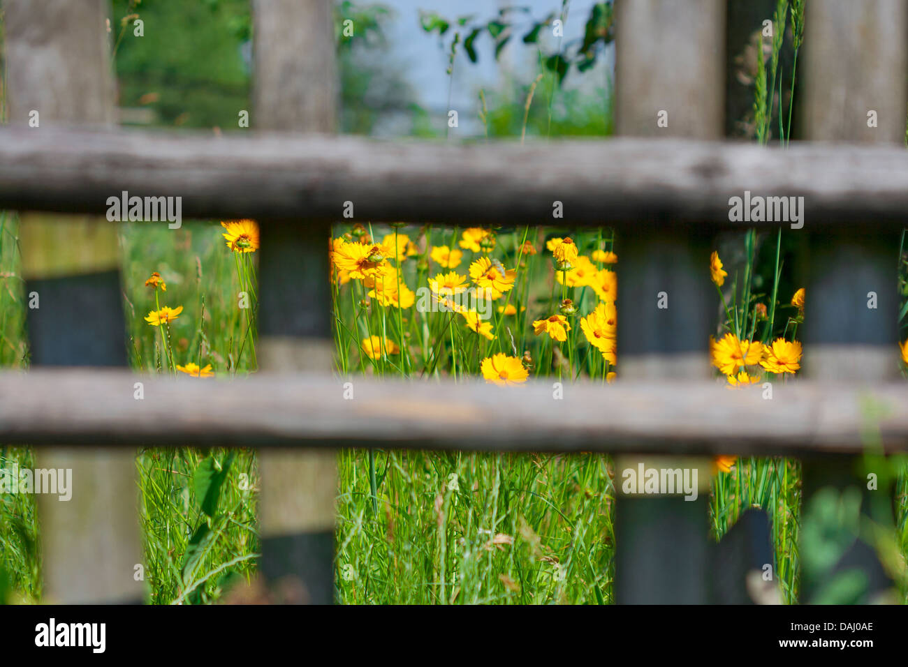 Beautiful wild yellow flowers behind the wooden fence stock photo beautiful wild yellow flowers behind the wooden fence izmirmasajfo Gallery