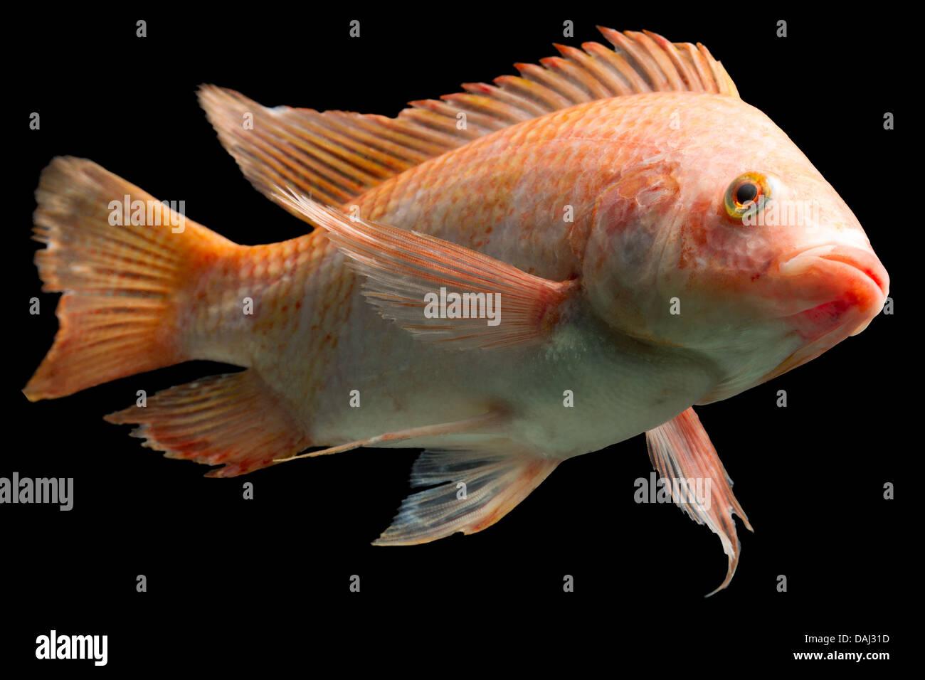 Nile or red tilapia oreochromis niloticus isolated on for Tilapia aquarium