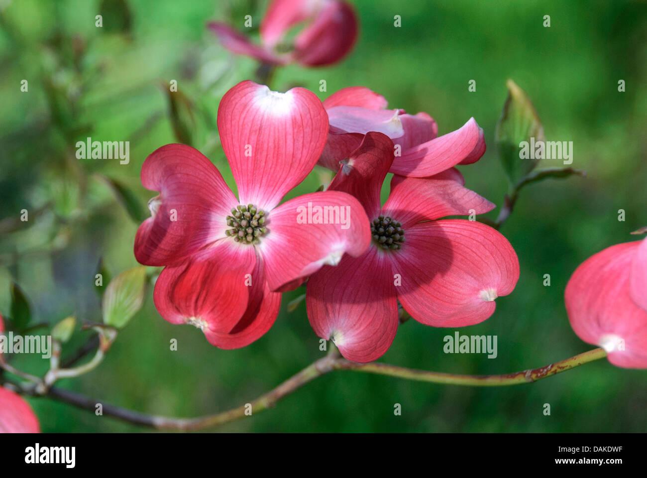 flowering dogwood american boxwood cornus florida 39 rubra. Black Bedroom Furniture Sets. Home Design Ideas