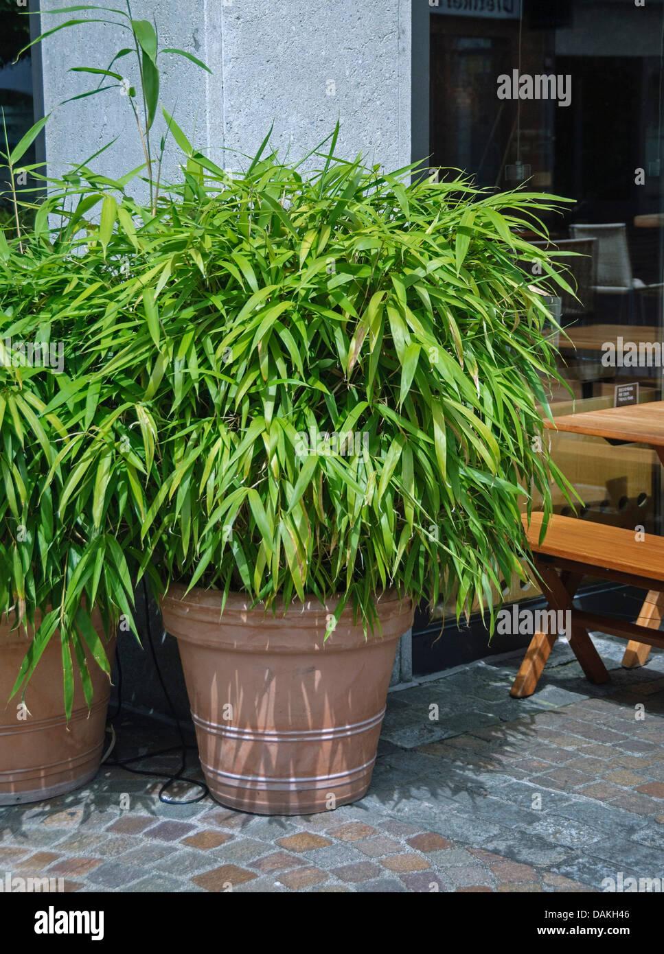 garden bamboo fargesia murielae 39 simba 39 fargesia. Black Bedroom Furniture Sets. Home Design Ideas