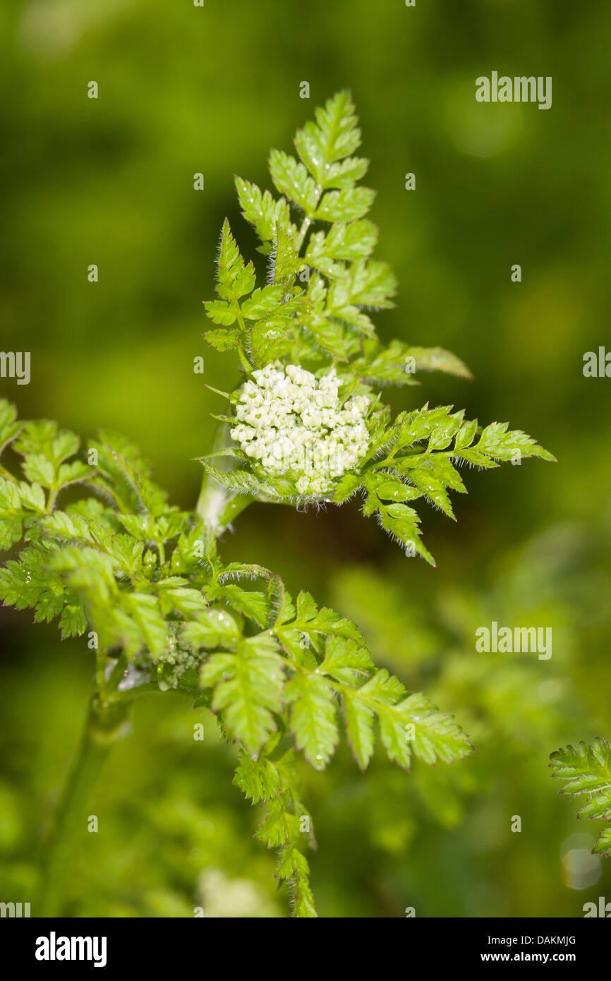 garden chervil common chervil Anthriscus cerefolium