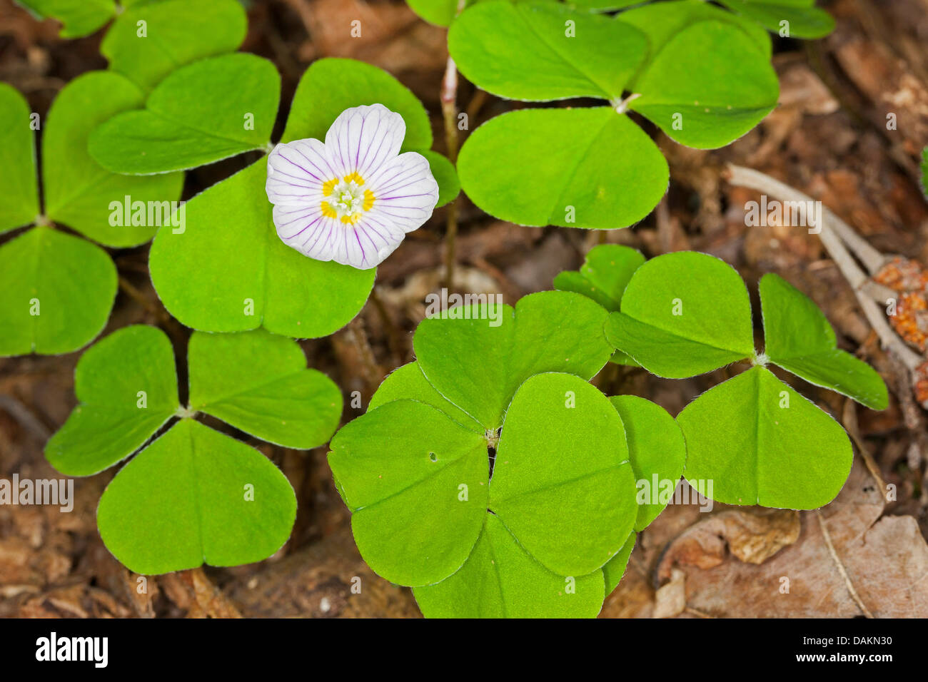 common wood sorrel wood sorrel irish shamrock oxalis acetosella