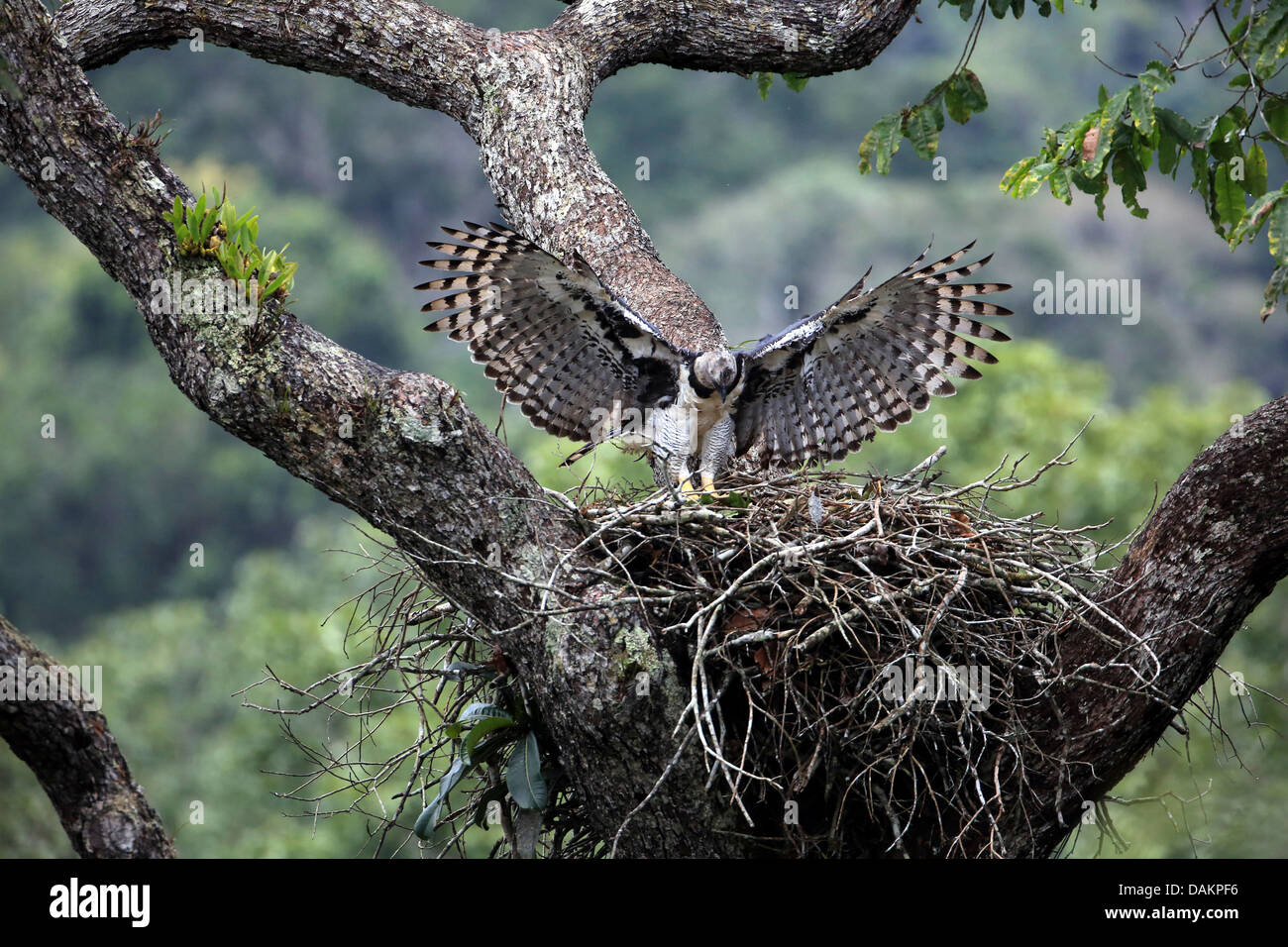 Harpy eagle (Harpia harpyja), female returning to the ...