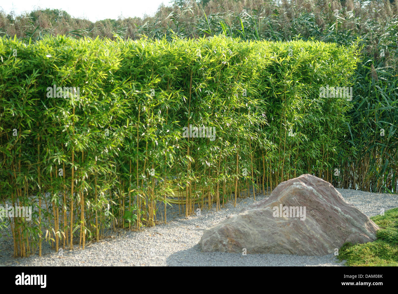 yellow grooved bamboo phyllostachys aureosulcata fo. Black Bedroom Furniture Sets. Home Design Ideas