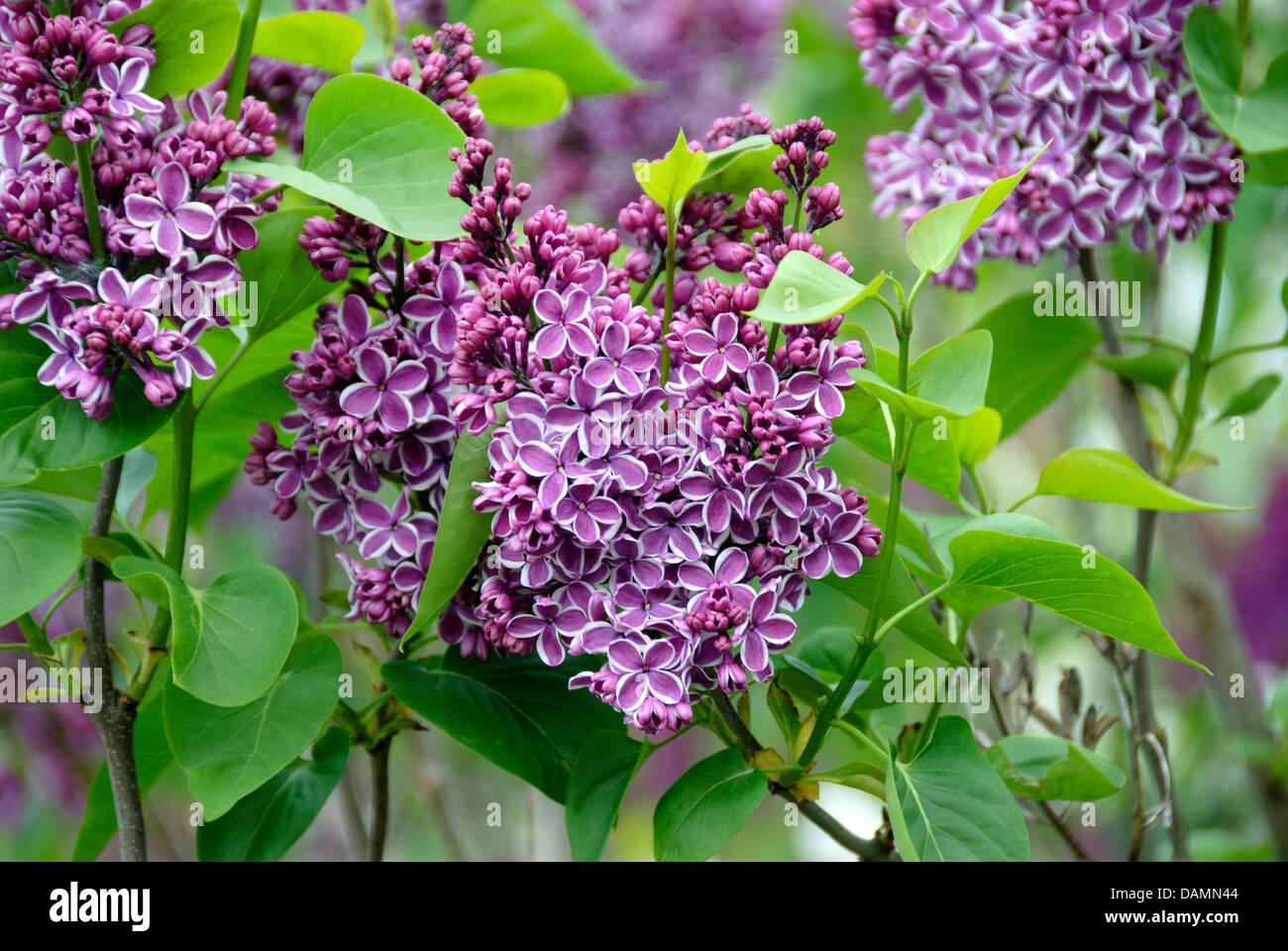 Common lilac syringa vulgaris 39 sensation 39 syringa - Syringa vulgaris ...