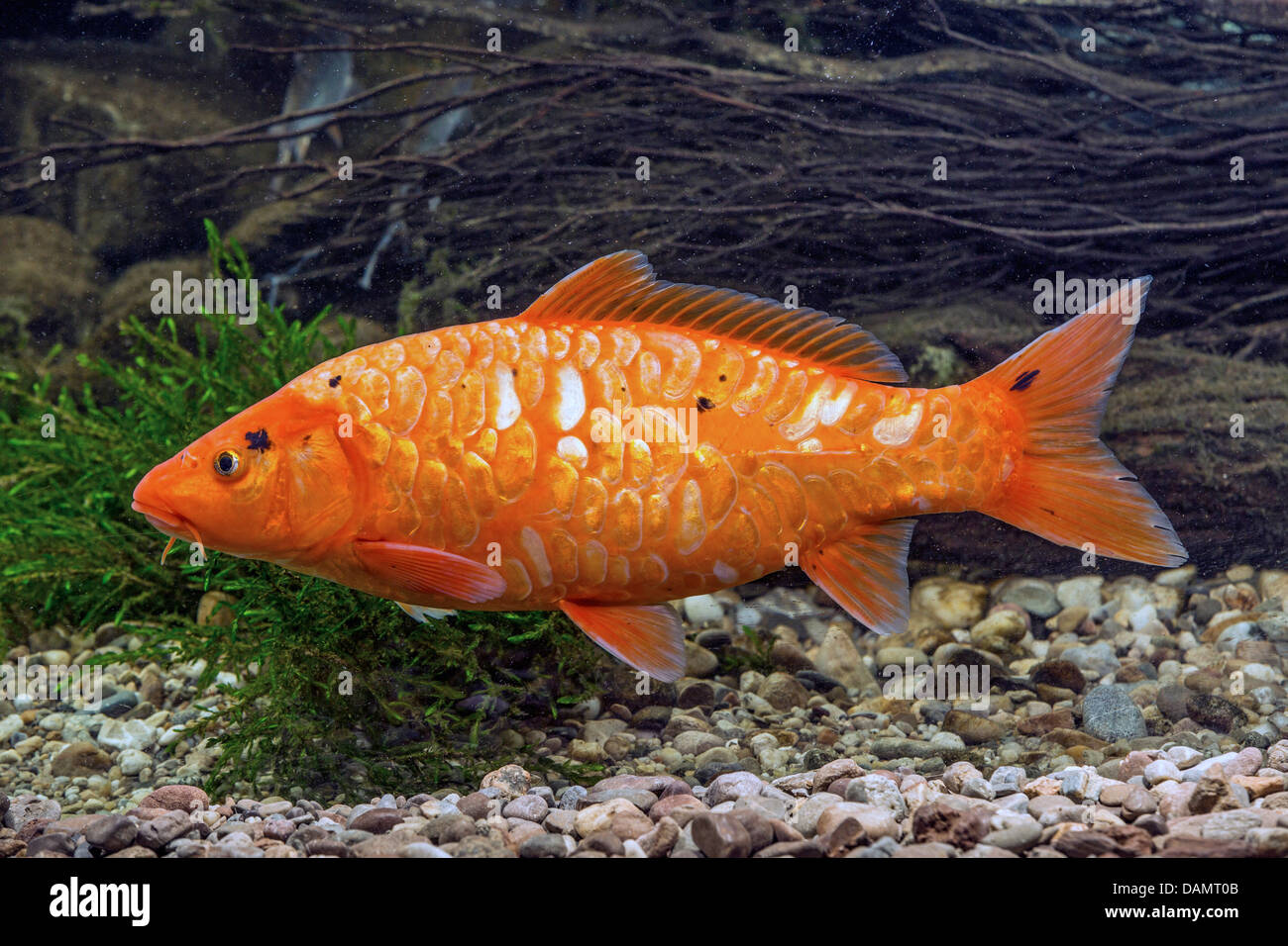 Koi carp cyprinus carpio with very large scales stock for Cyprinus carpio koi