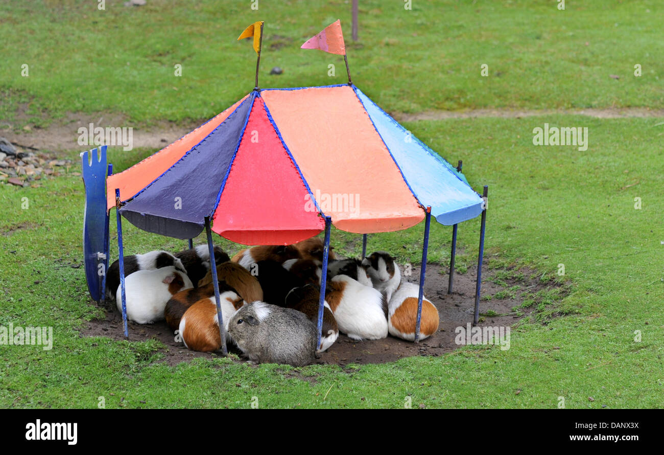 Guinea pigs huddle close together under a small tent to get out of the rain at the zoo in Hanover Germany 12 July 2011. Photo JULIAN STRATENSCHULTE & Guinea pigs huddle close together under a small tent to get out of ...