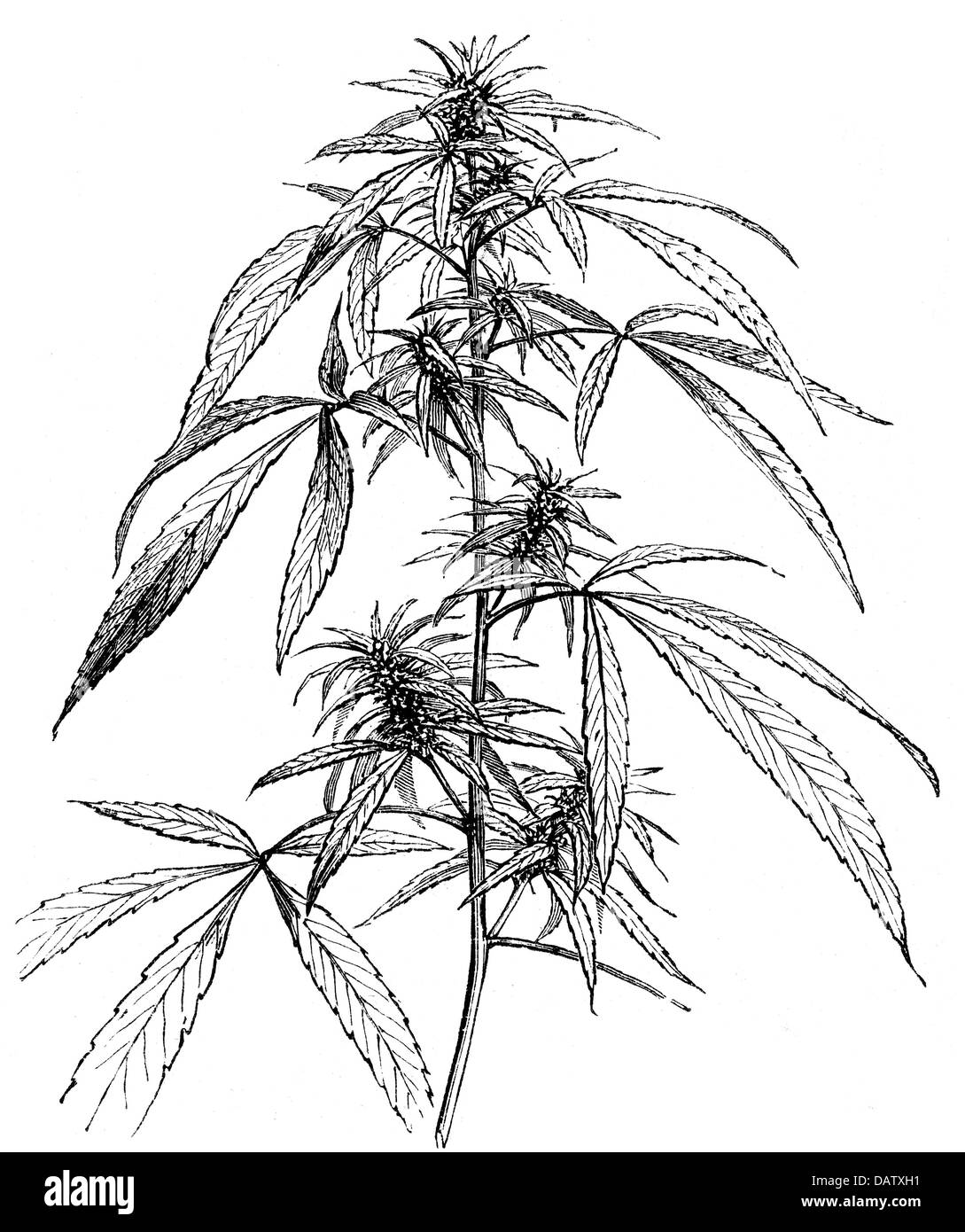 Diagram Of Seed Germination Hemp Schematics Data Wiring Diagrams Bean With Roots Drawing Pictures To Pin On Pinterest Pinsdaddy Phases