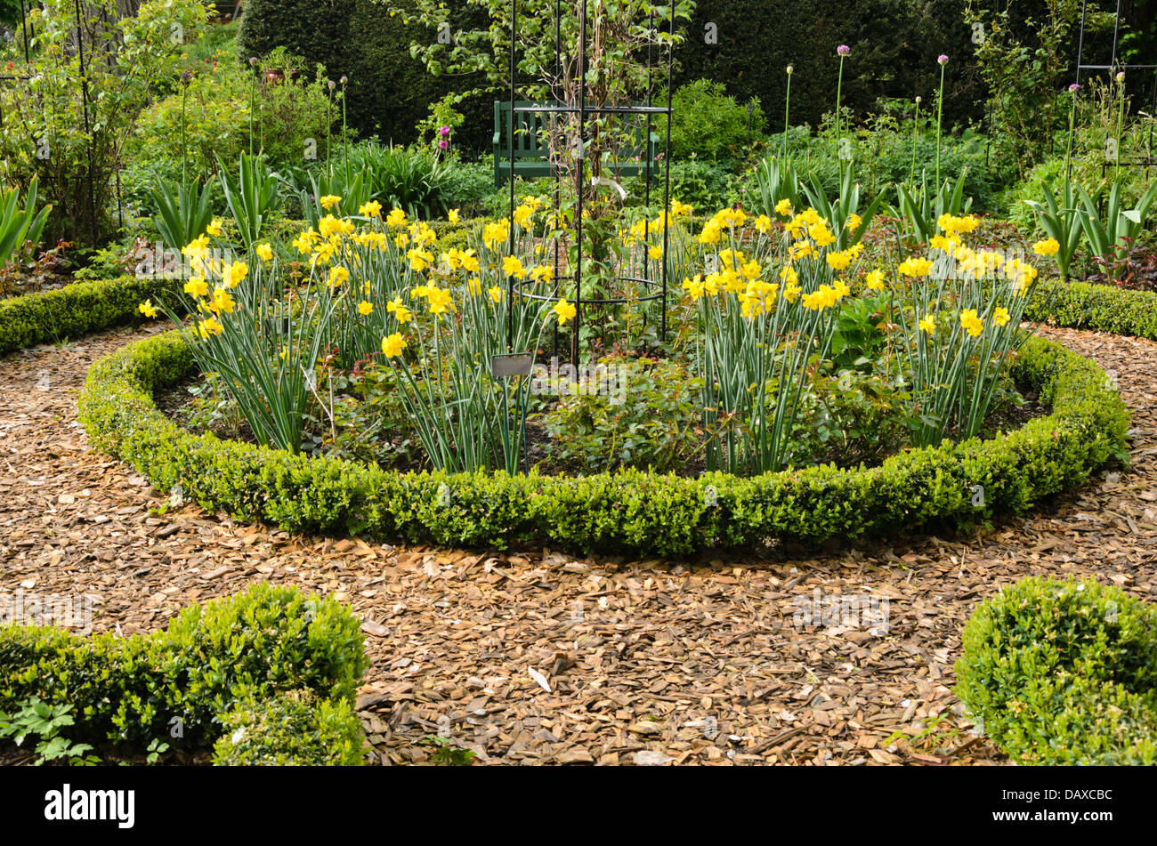 ... Daffodils (Narcissus) And Boxwood (Buxus) In A Rose Garden. Design: