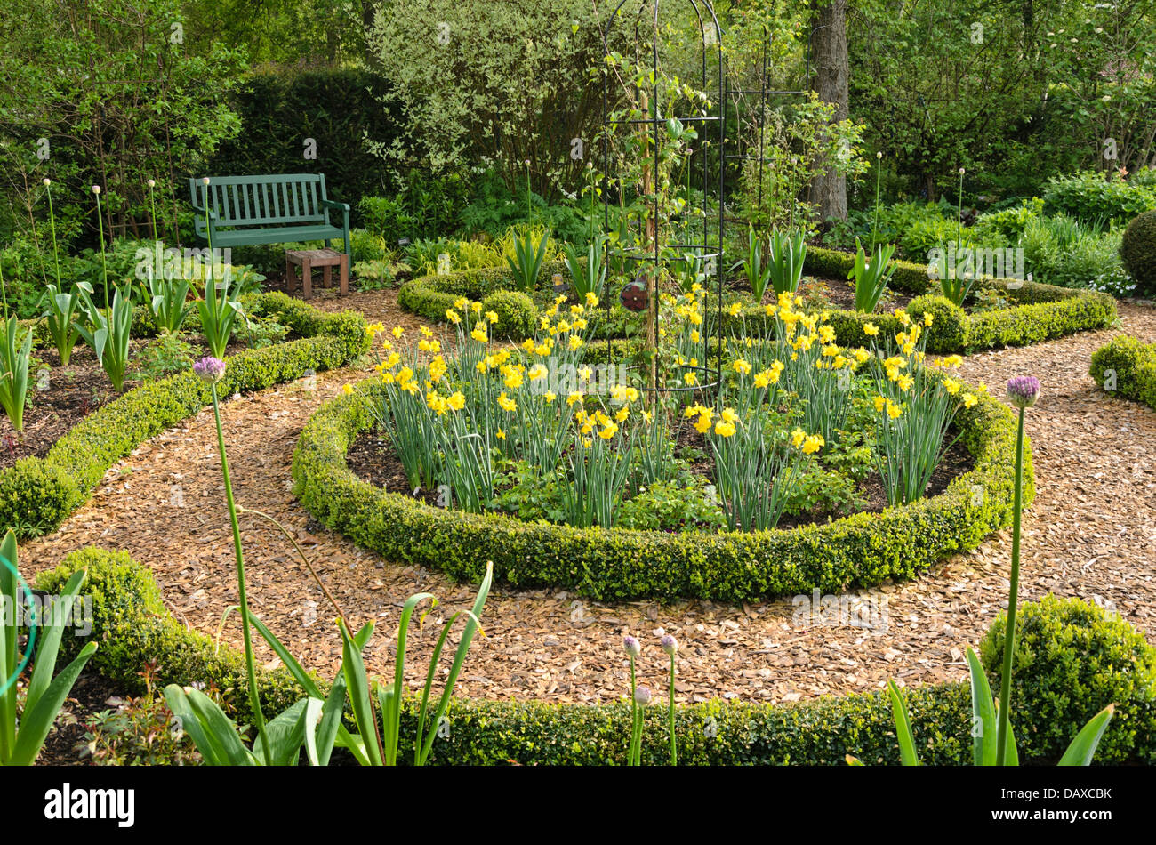 daffodils narcissus and boxwood buxus in a rose garden design daffodils narcissus and boxwood buxus in