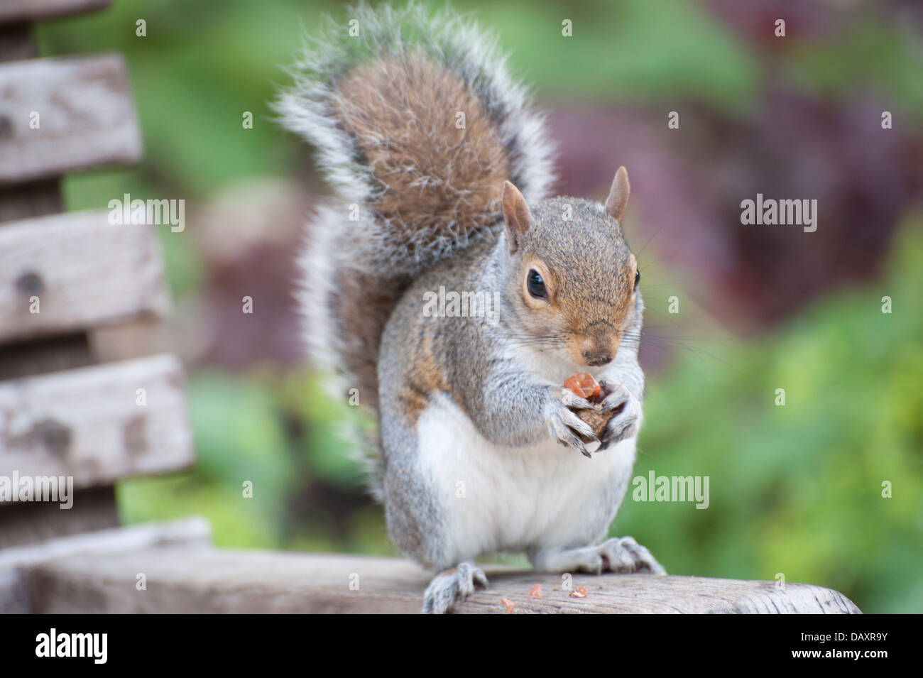 Squirrel Eating Nut On Park Bench Close Up Squirrel