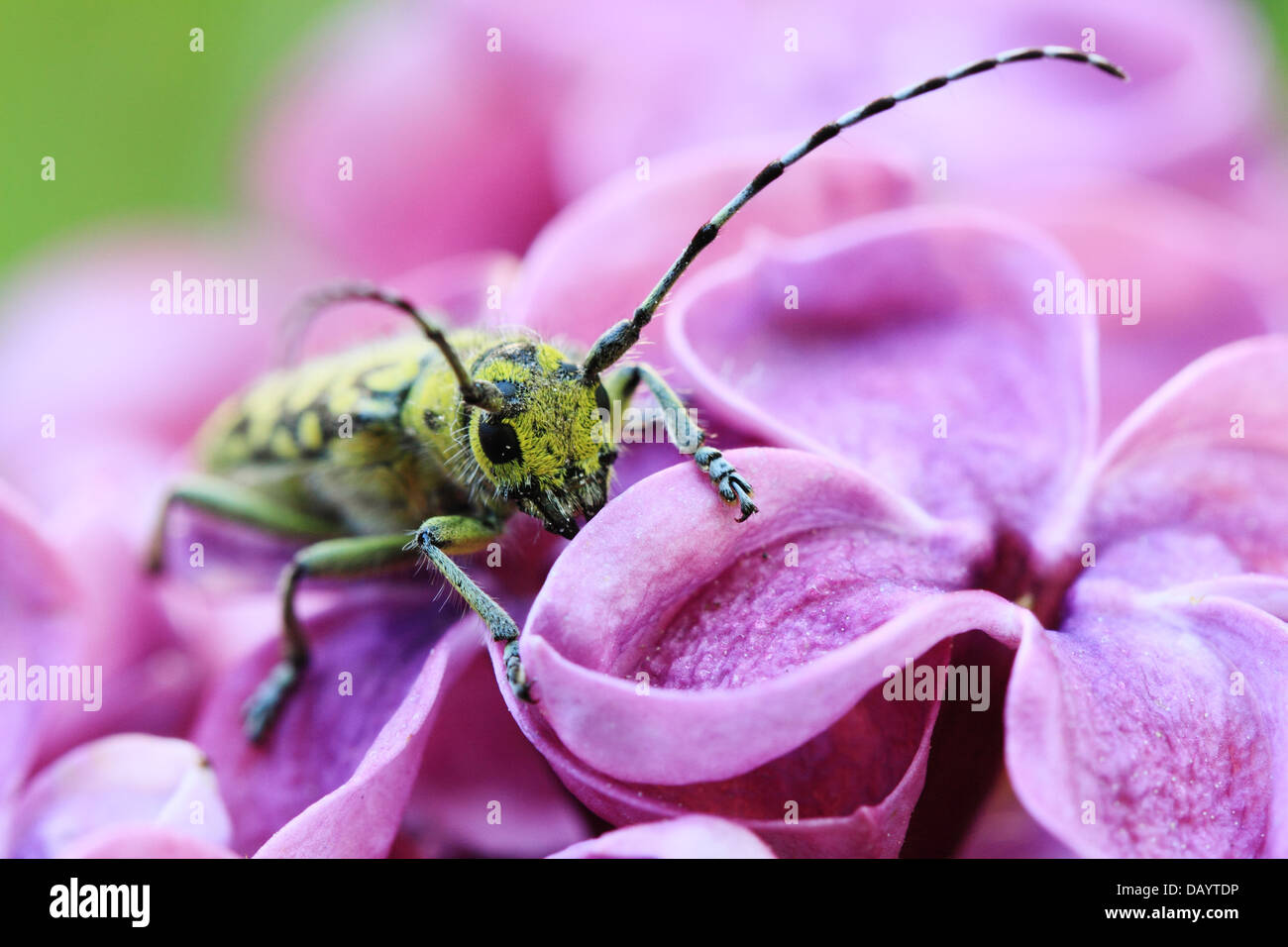 The_colourful_longhorn_beetle_species_Sa