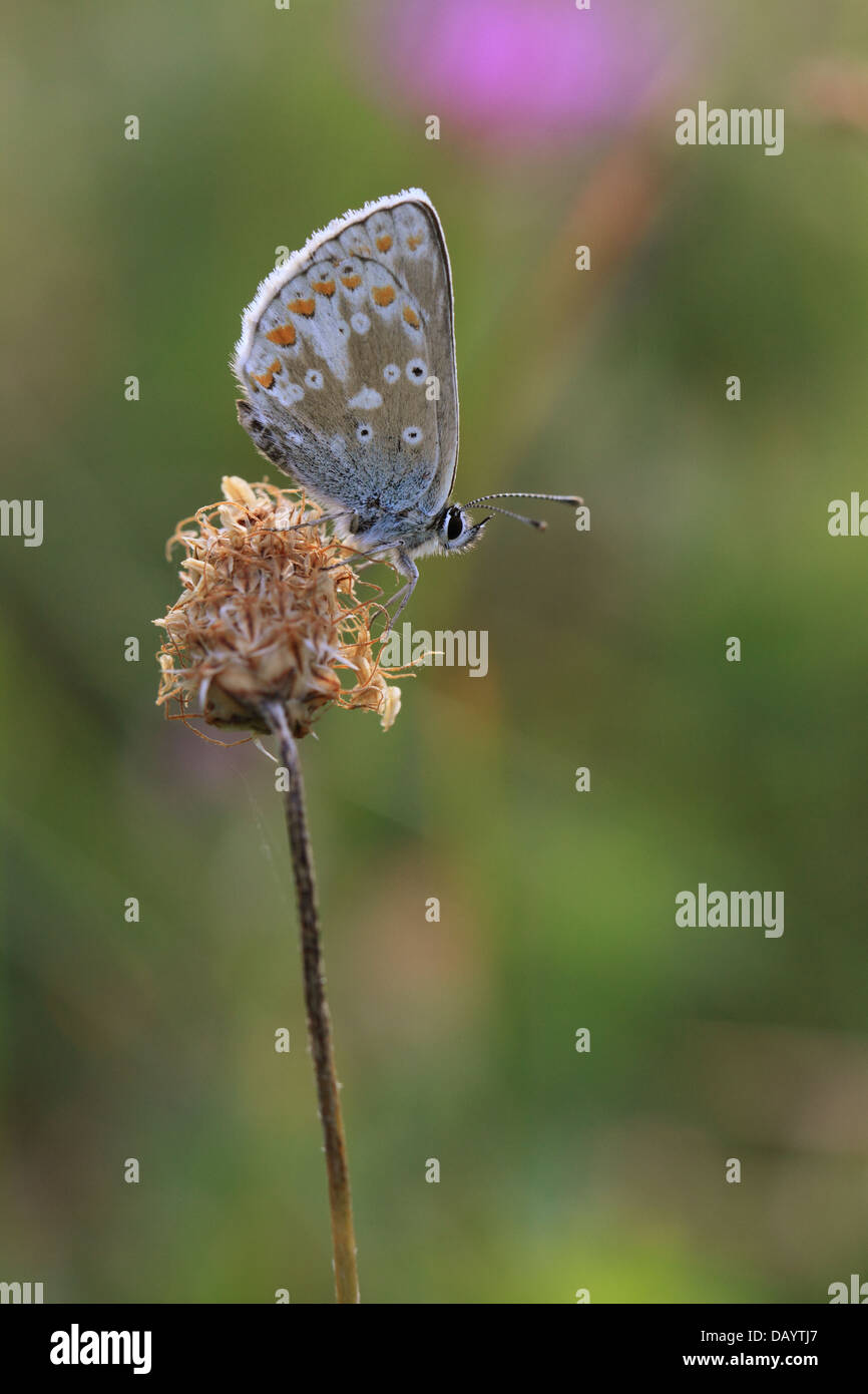 Northern Argus: Northern Brown Argus (Aricia Artaxerxes Stock Photo