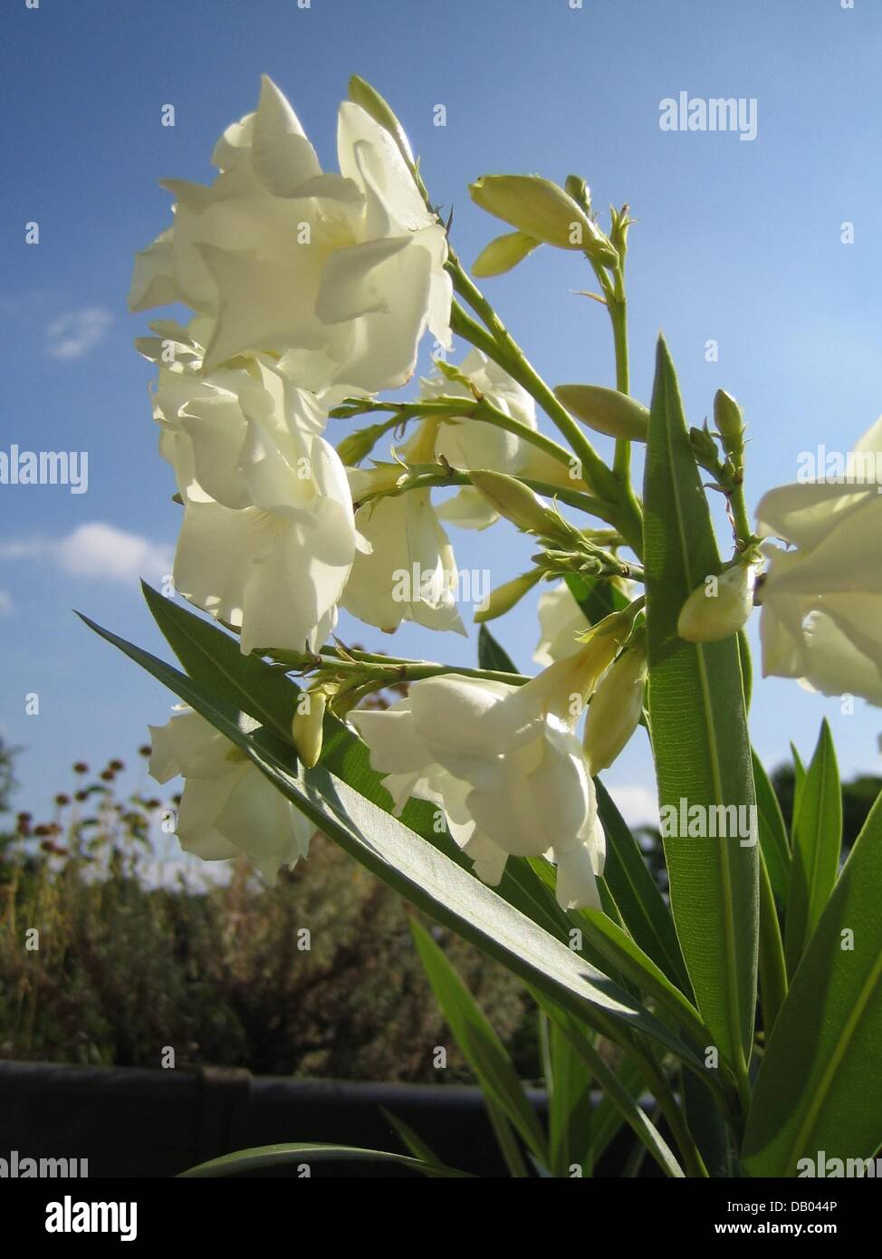 White Oleander Flower Symbolism Gallery Meaning Of This Symbol