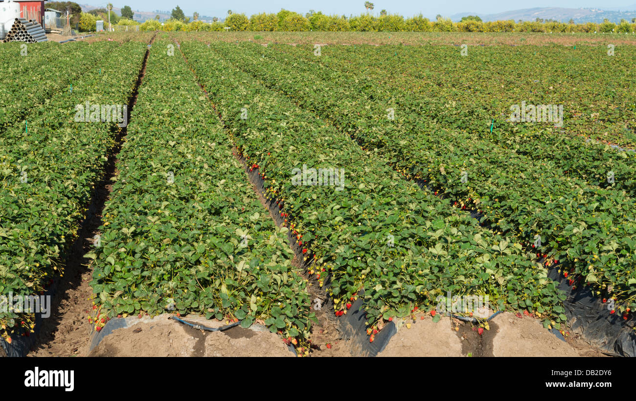 Rows of strawberry plants in a field Stock Photo, Royalty Free ...