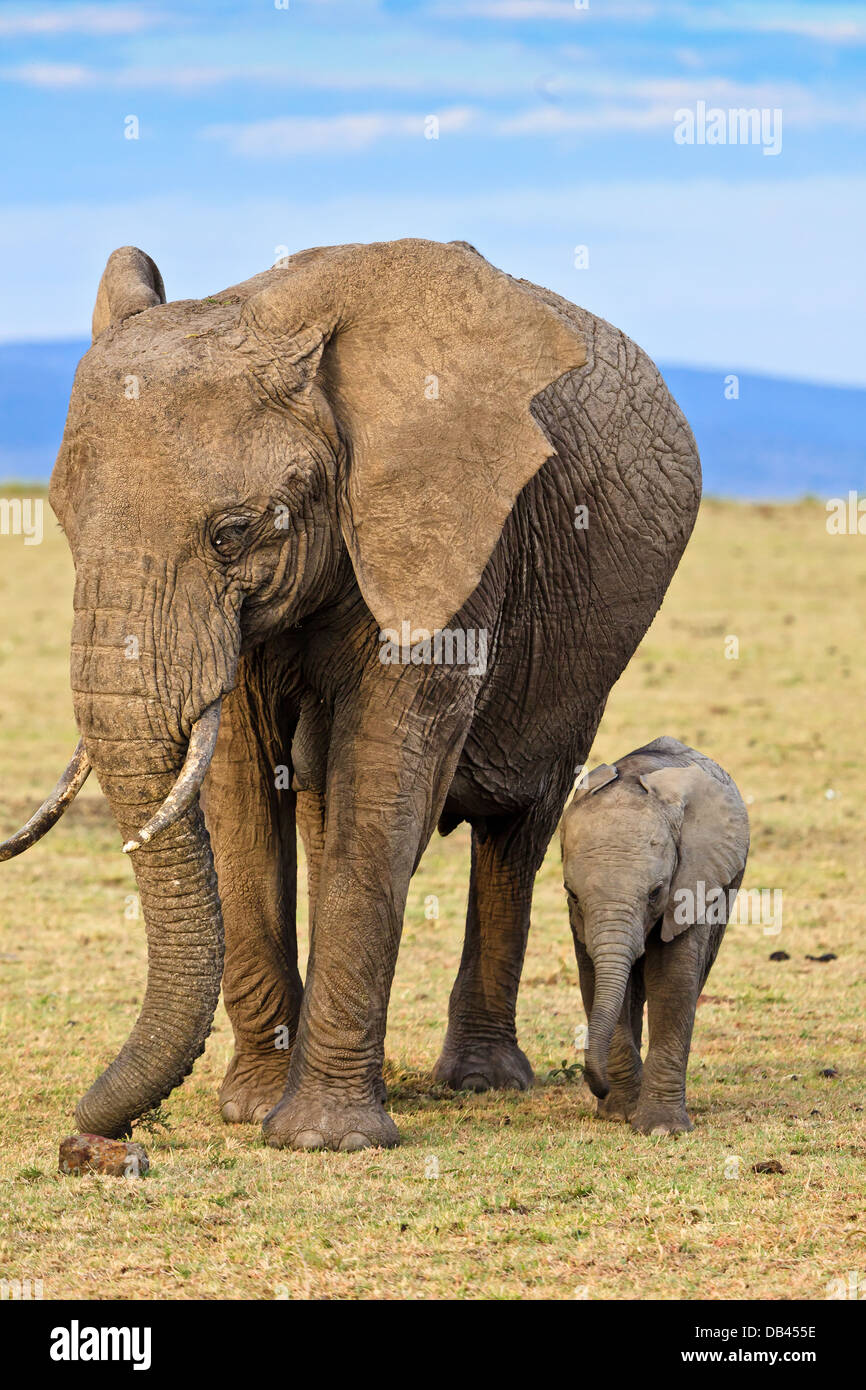 an introduction to the nature of the african elephant aka loxodonta africana Elephant (loxodonta africana) in ethiopia  introduction engineers i n that  placed a complete ban on international trade in elephant products by listing the african elephant loxodonta .