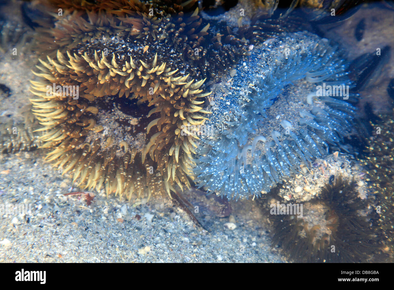 Sea Anemones In Rock Pool At Clifton Beach Cape Town Stock Photo Royalty Free Image 58580798
