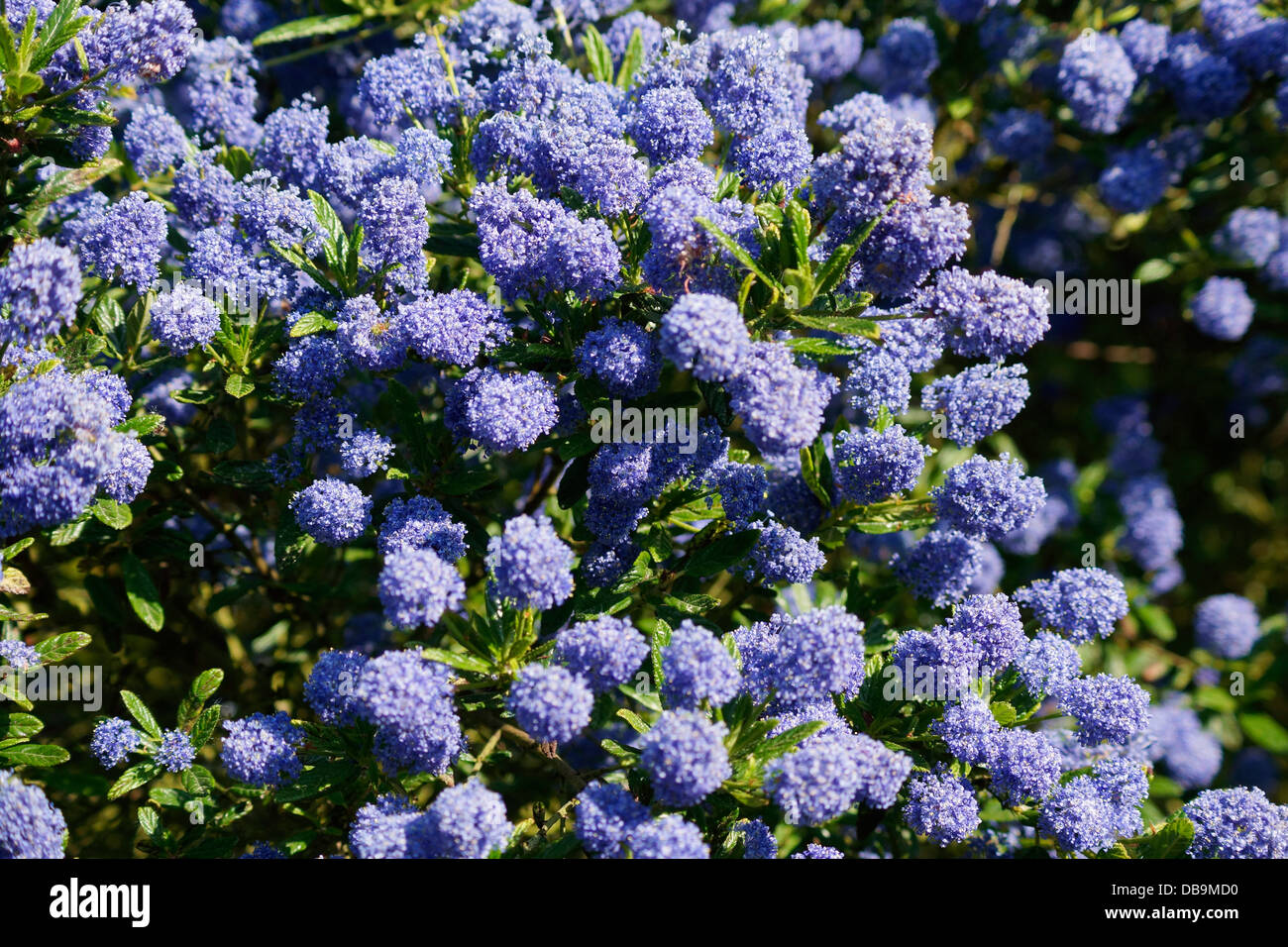 ceanothus blue mound californian lilac shrub flowering in. Black Bedroom Furniture Sets. Home Design Ideas
